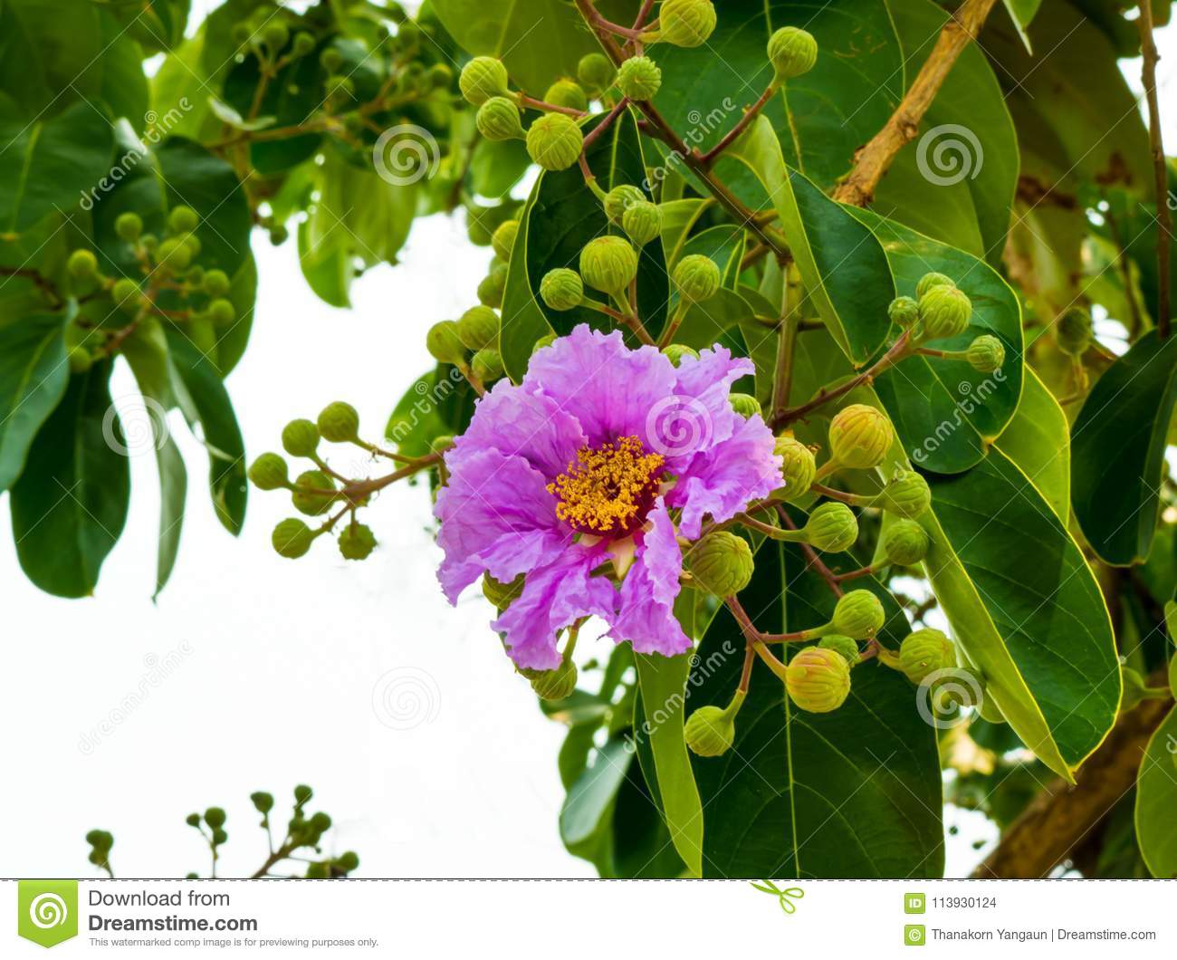 Lagerstroemia Flower With Green Leaveslocal Tree Growing On The