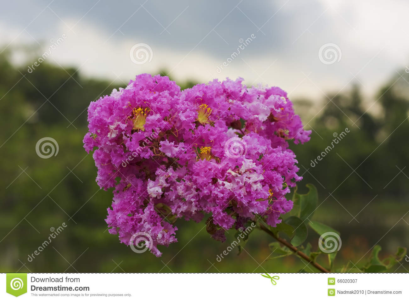 Lagerstroemia Indica Or Indian Lilac Stock Image - Image of indian