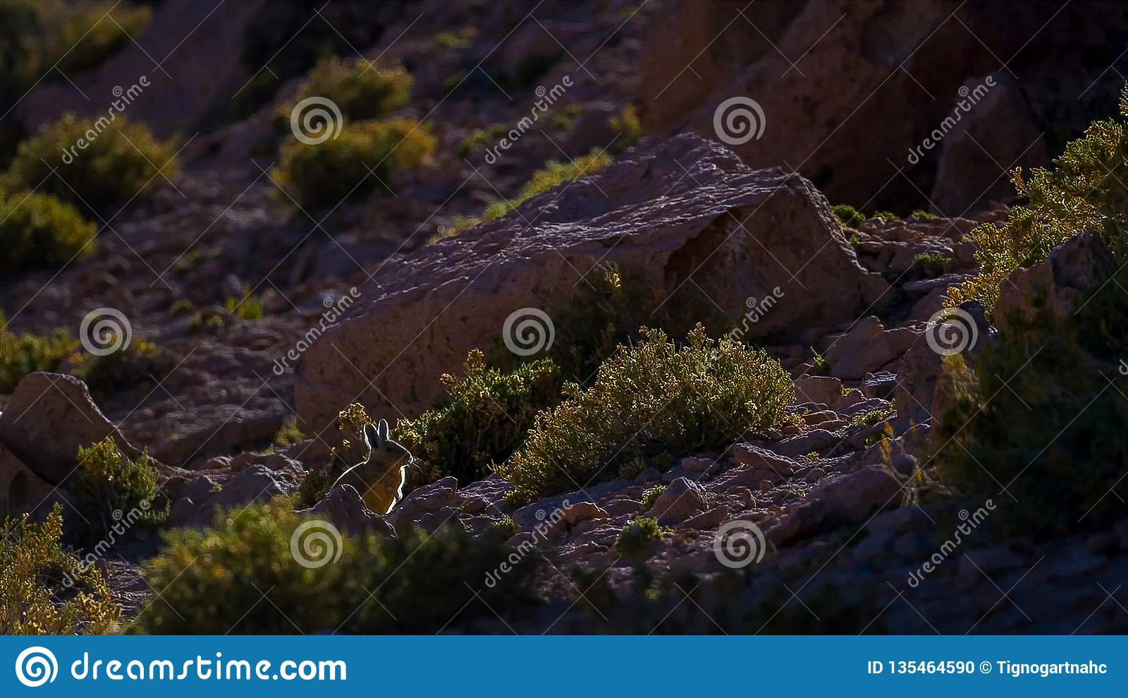 Lagidium do sul Viscacia de Viscacha ou de Vizcacha no deserto andino alto do platô em Bolívia
