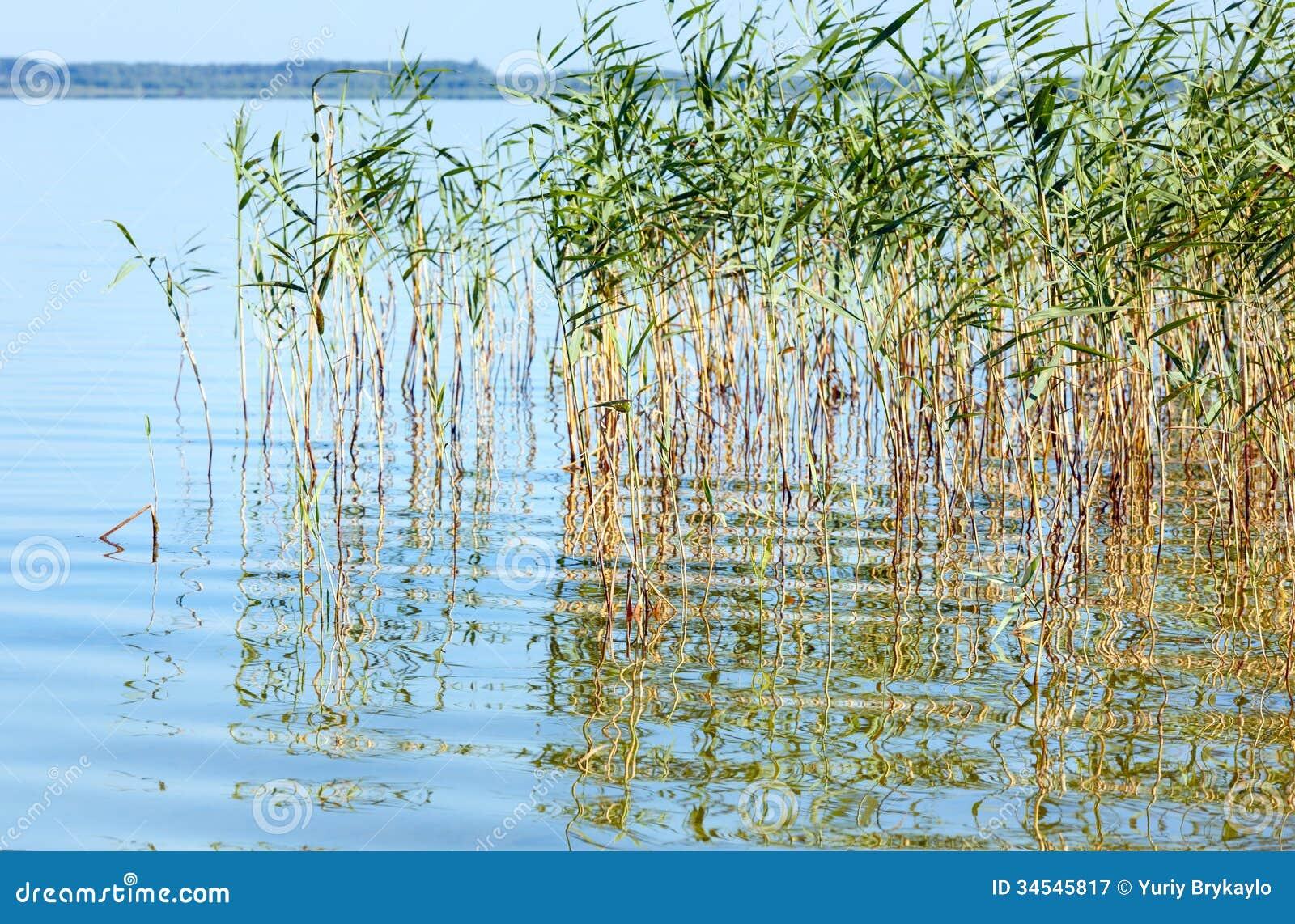 Lago juncoso summer