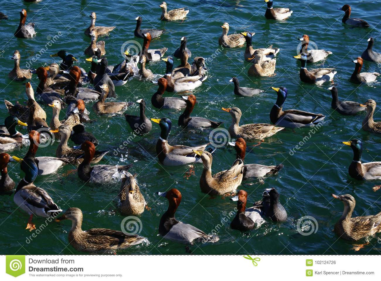 Lago Mead Area - Duck Feeding Frenzy