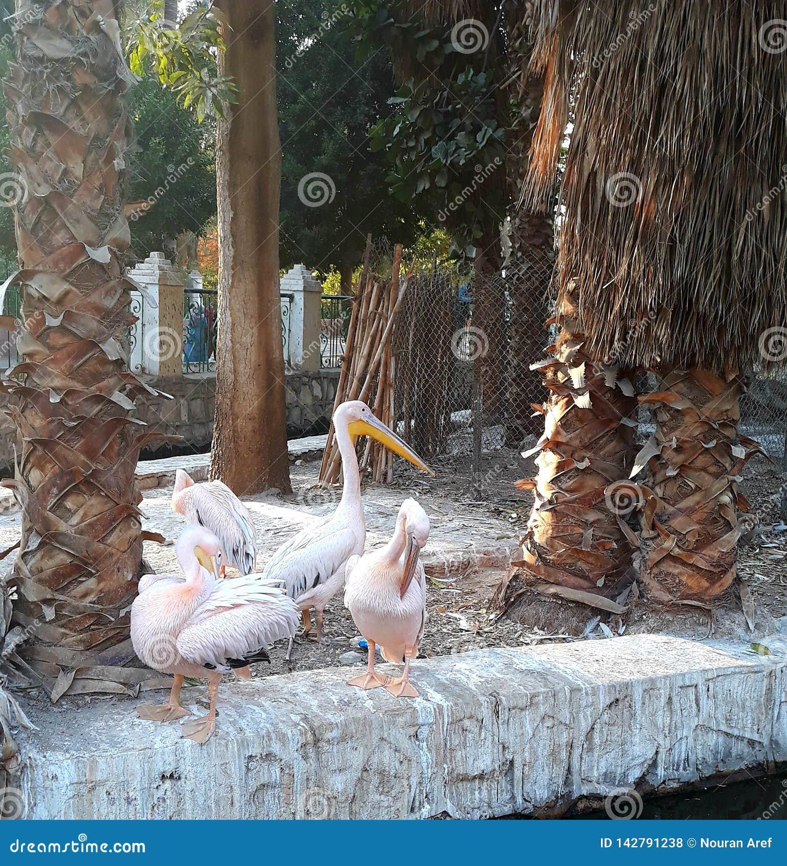 Lago swan no jardim zoológico no Cairo Egypt
