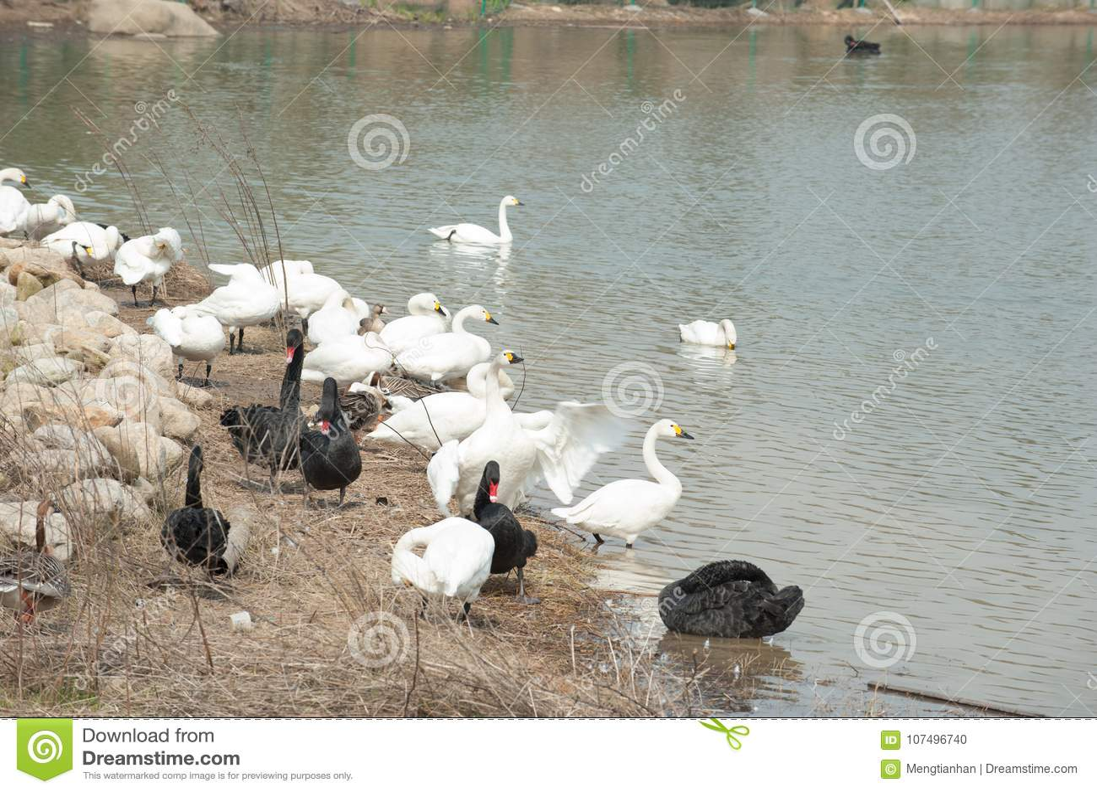 Lago tribù-cigno del cigno