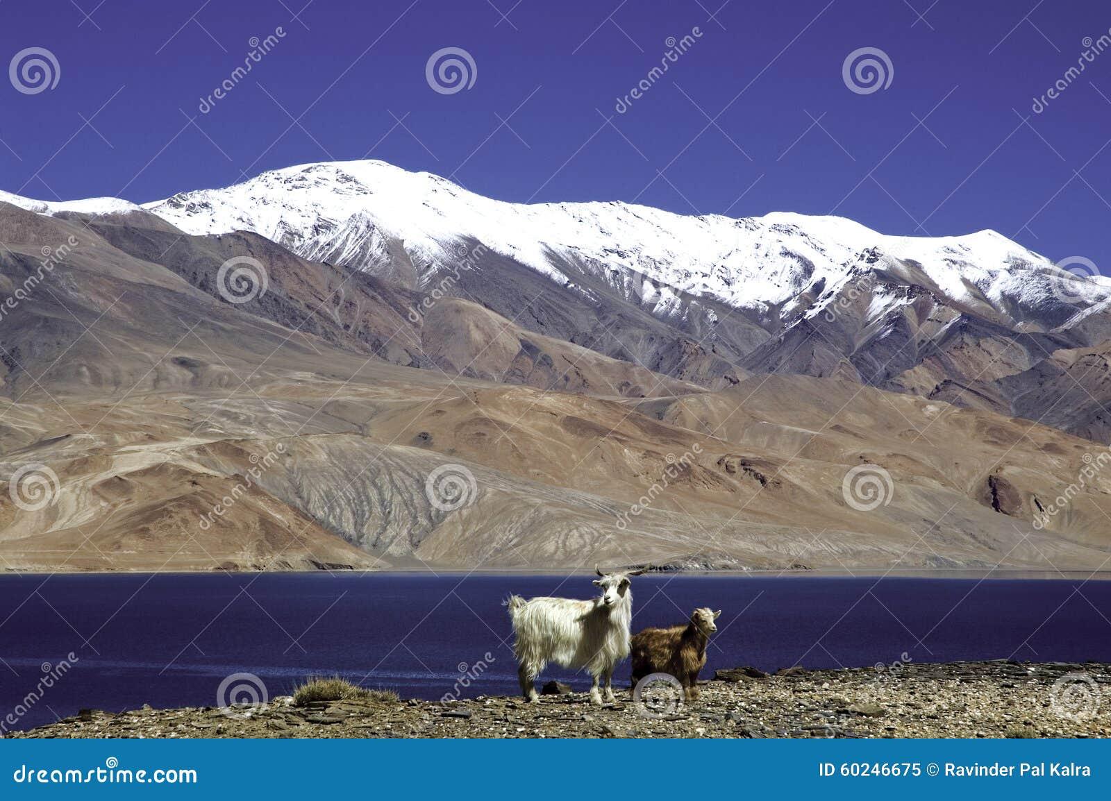 Lago Tsomoriri, Leh-Ladakh