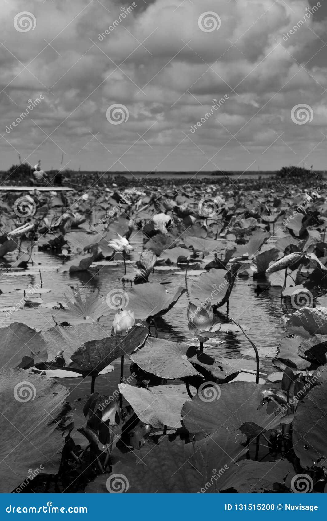 Lagoa de Lotus preto e branco da imagem em Talay Noi Fowl Reserve, resevior do lago Songkhla, Phattalung do pantanal de Ramsar