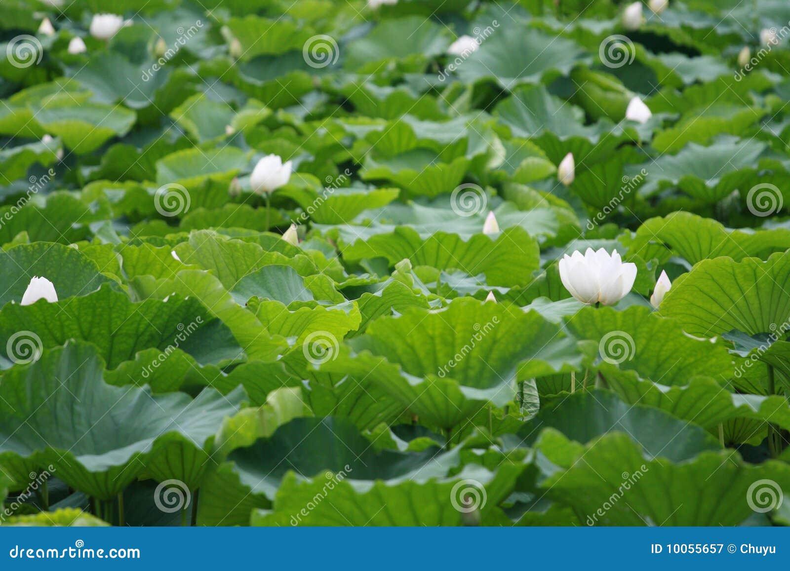 Lagoa dos lótus