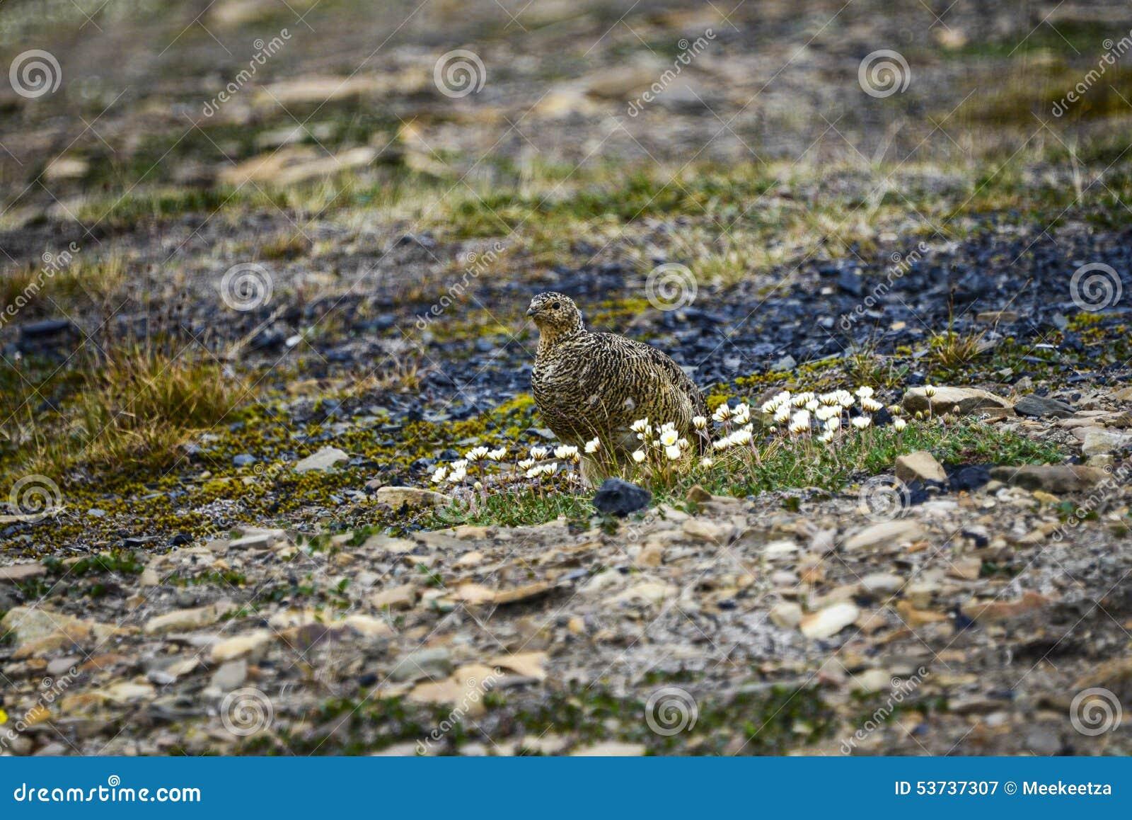 Lagopède alpin femelle de roche dans le Svalbard