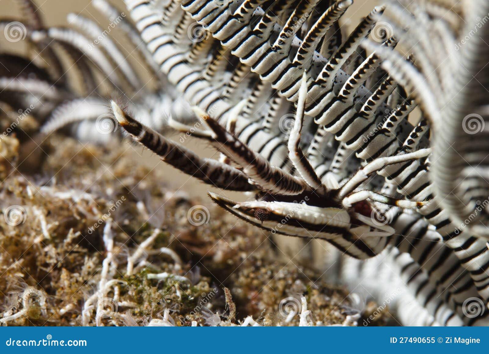 Lagosta da ocupa da estrela de pena dos elegans de Allogalathea