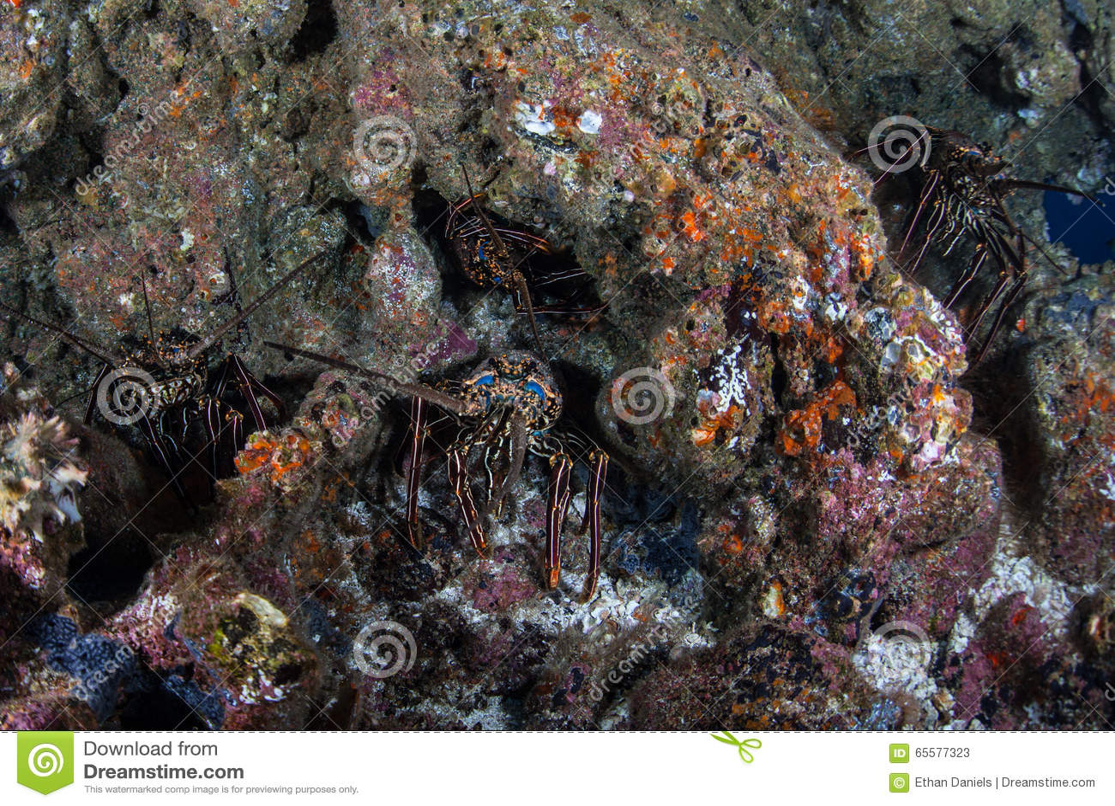 Lagostas em Rocky Reef