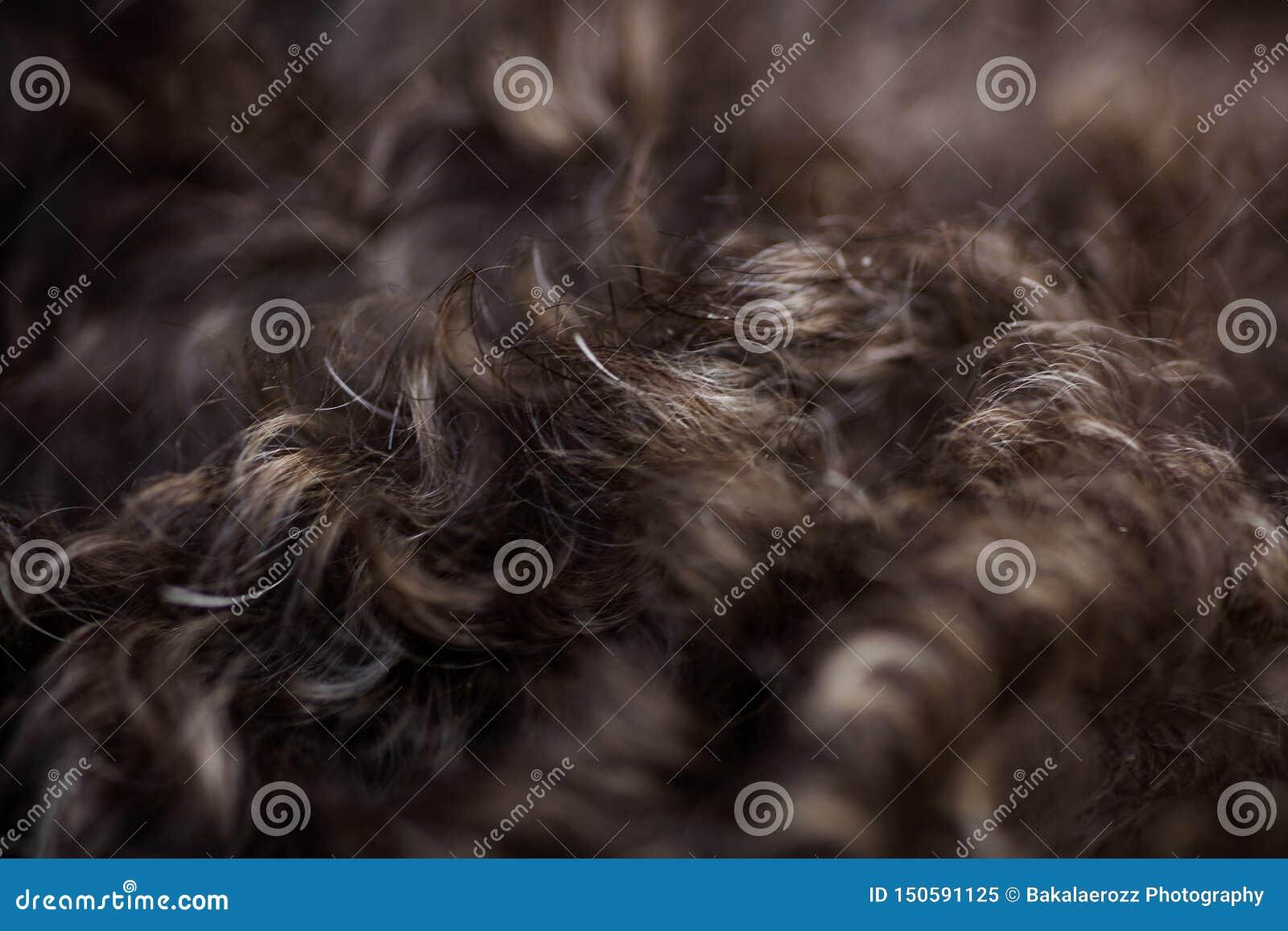 Lagotto romagnolo psiego włosy makro- tła tapetowi wysokiej jakości druki