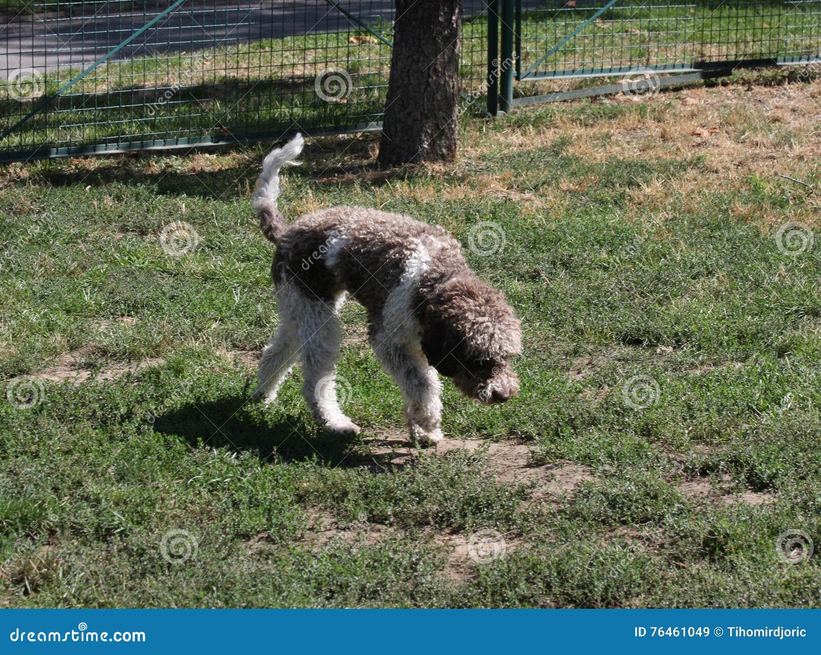 Lagotto Romagnolo w psa parku