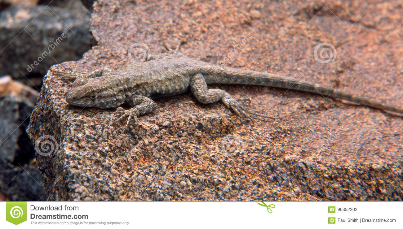 laid back lizard in sidewinder canyon black mountains death valley