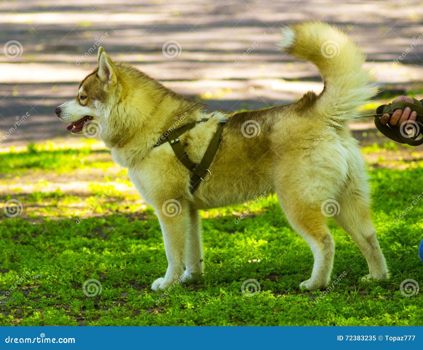 Laika Siberian Favorito ronco do animal de estimação do cão malamute Alaskan novo