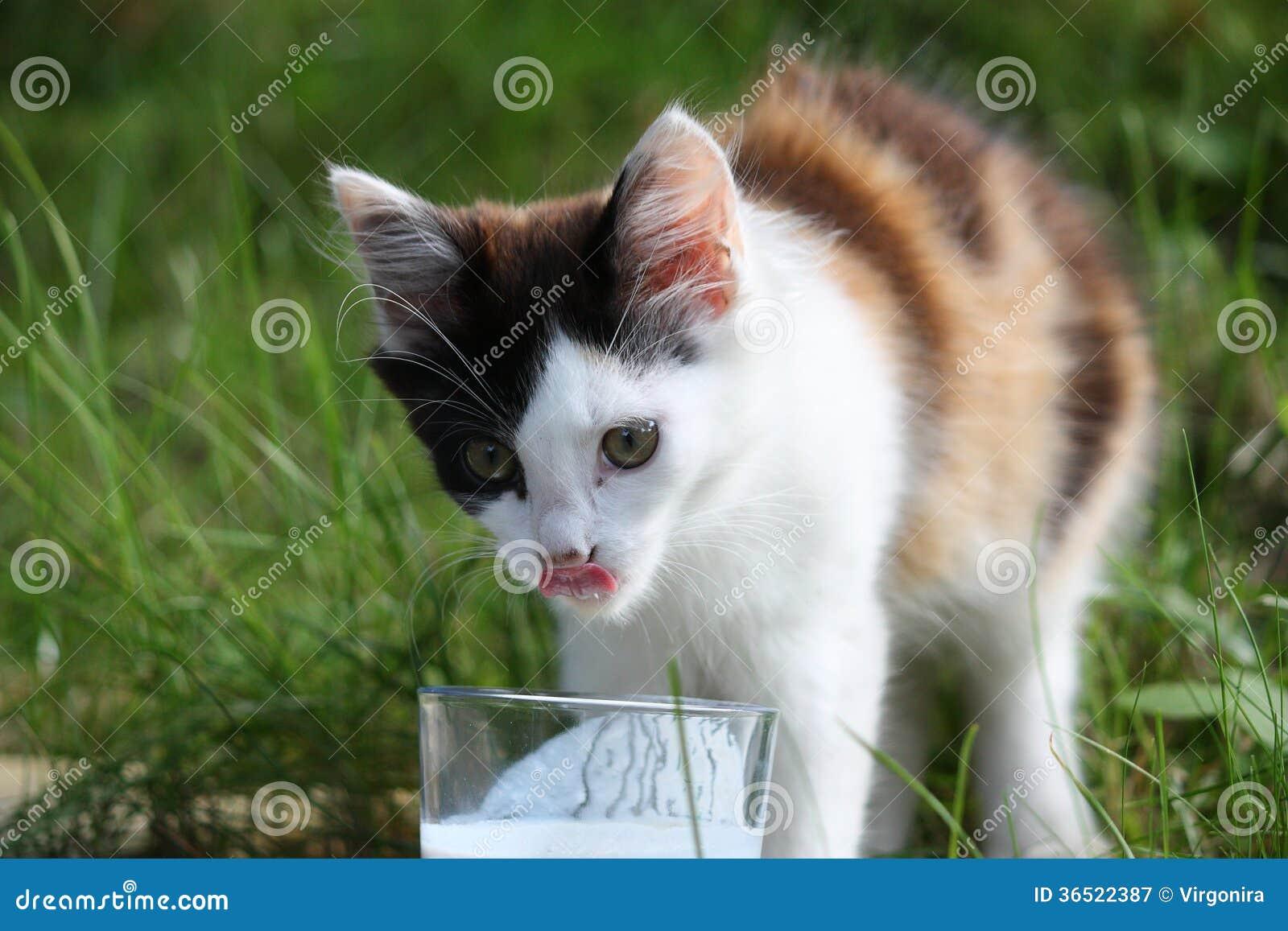 Lait boisson mignon de chaton du verre