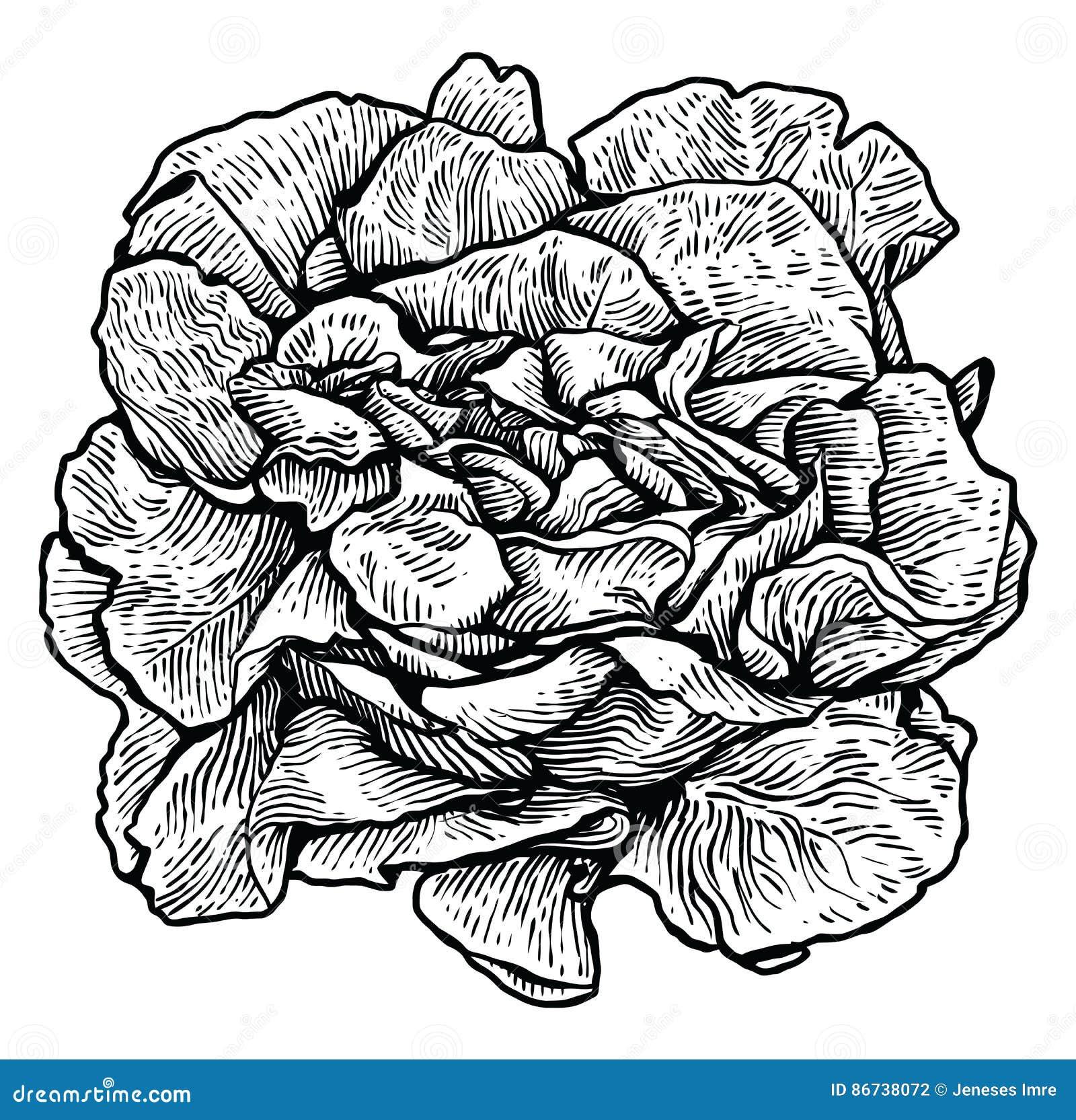 Laitue Illustration De Salade Dessin Gravure Schéma