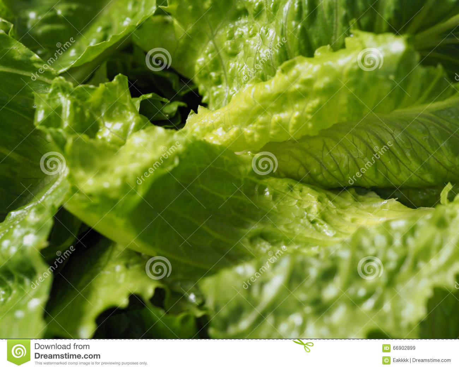 laitue romaine de cos de salade verte coupée en tranches image stock