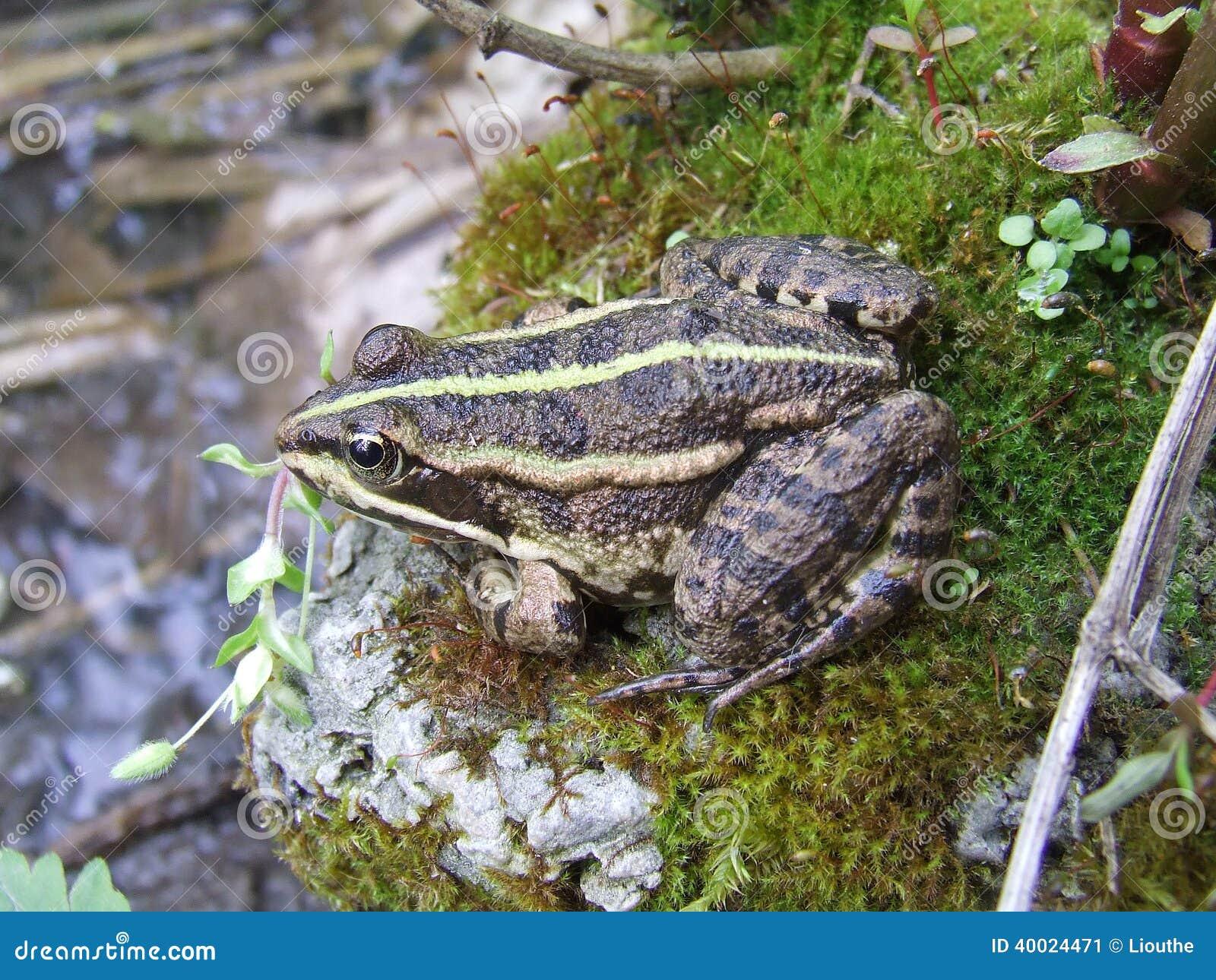 Small marsh frog