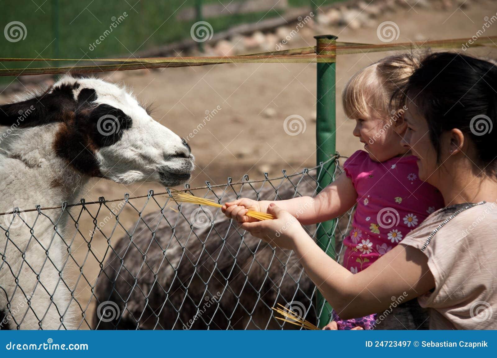 Lama alimentant de zoo
