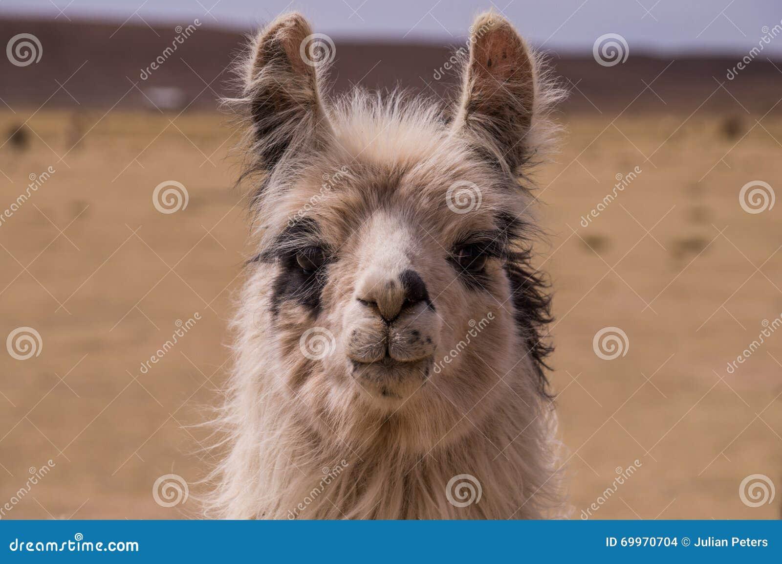 Lama Alpaca-Porträt