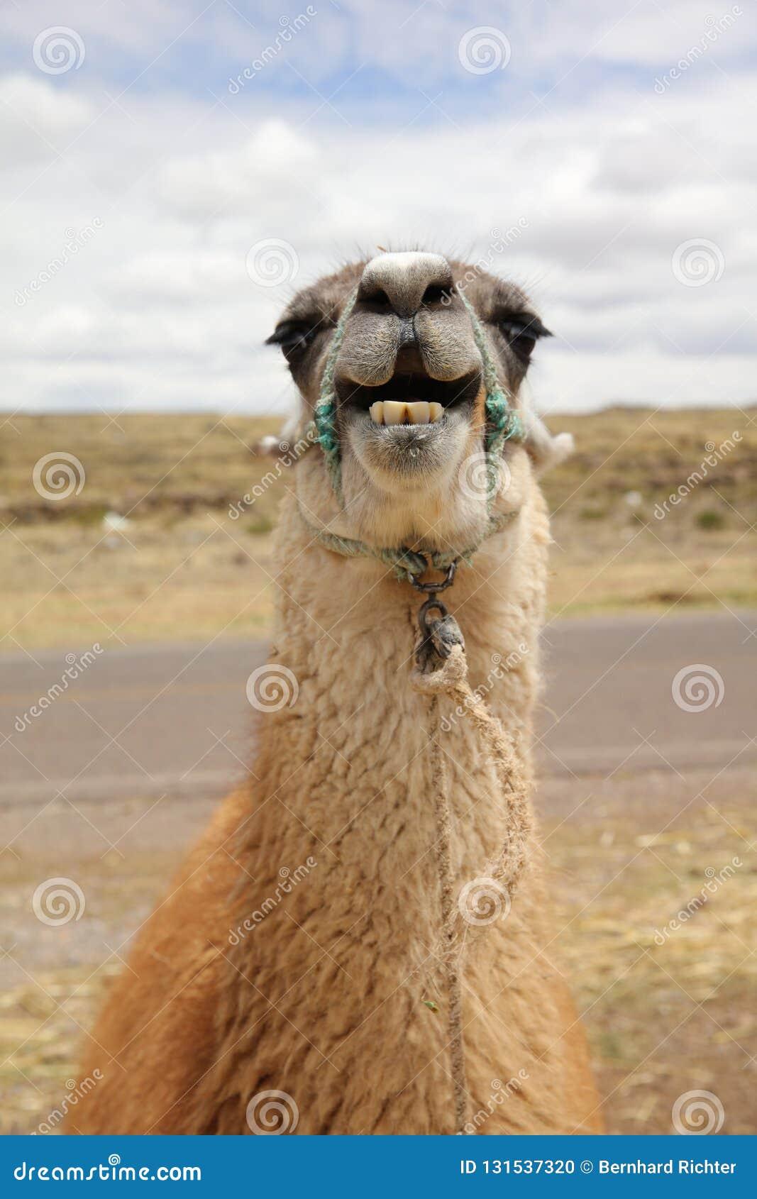 Lama au Pérou beau chiffre dimensionnel illustration trois du sud de 3d Amérique très