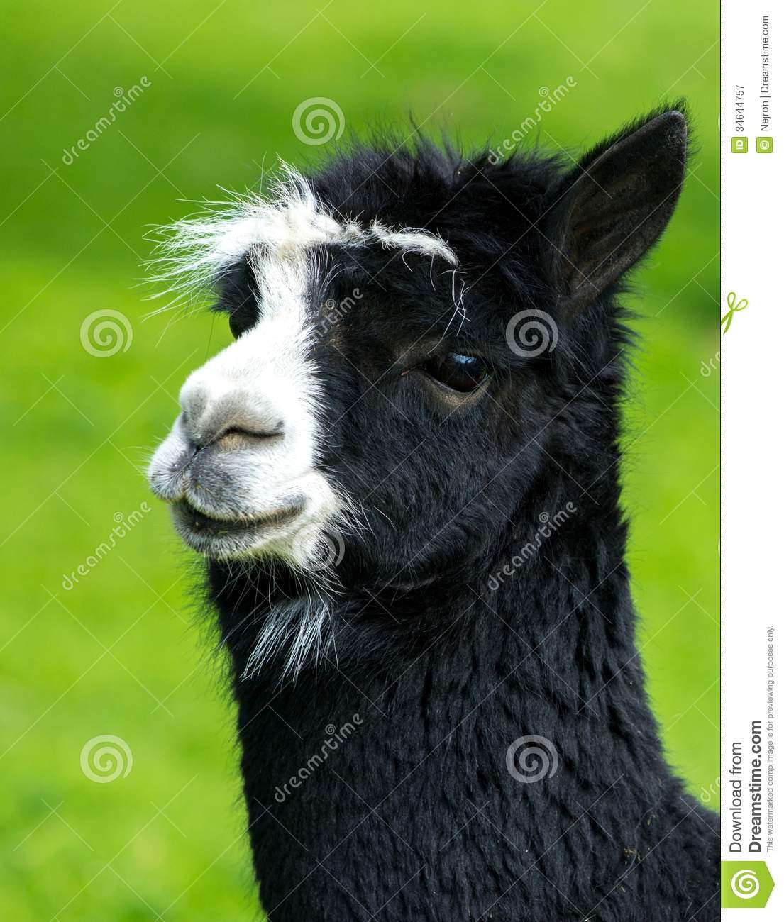 Lama Royalty Free Stock Photography Image 34644757