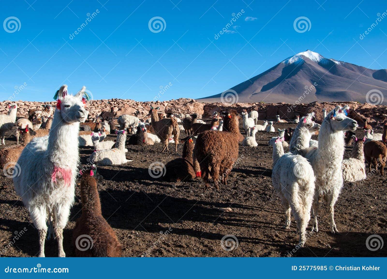 Lama in Bolivien