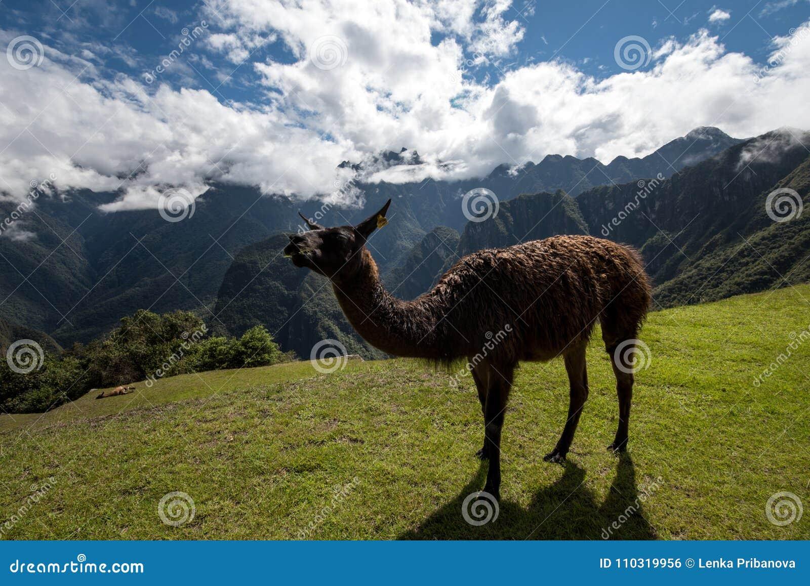 Lama chez Machu Picchu Pérou
