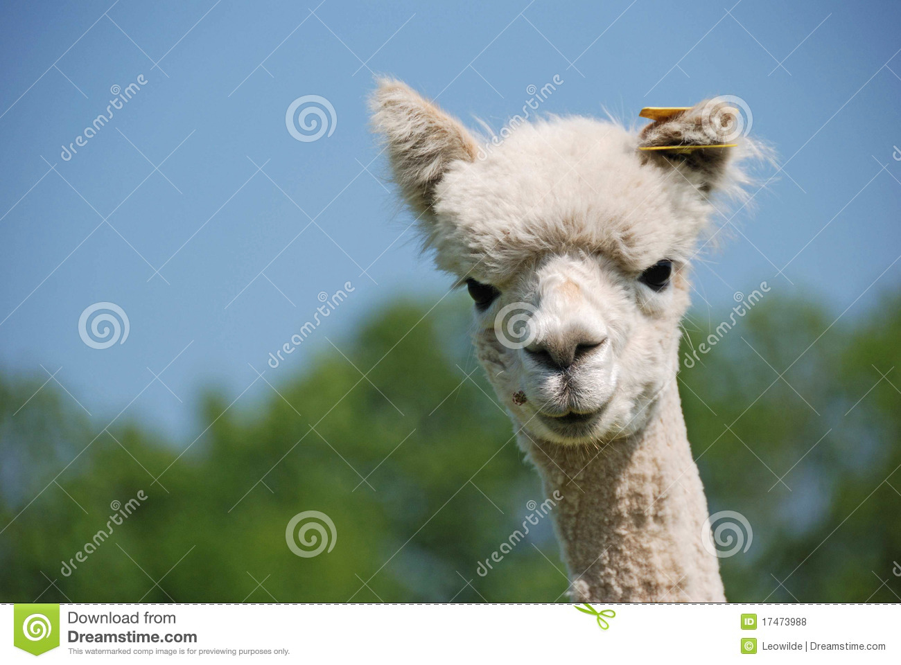 Lama Curious Royalty Free Stock Photos - Image: 17473988