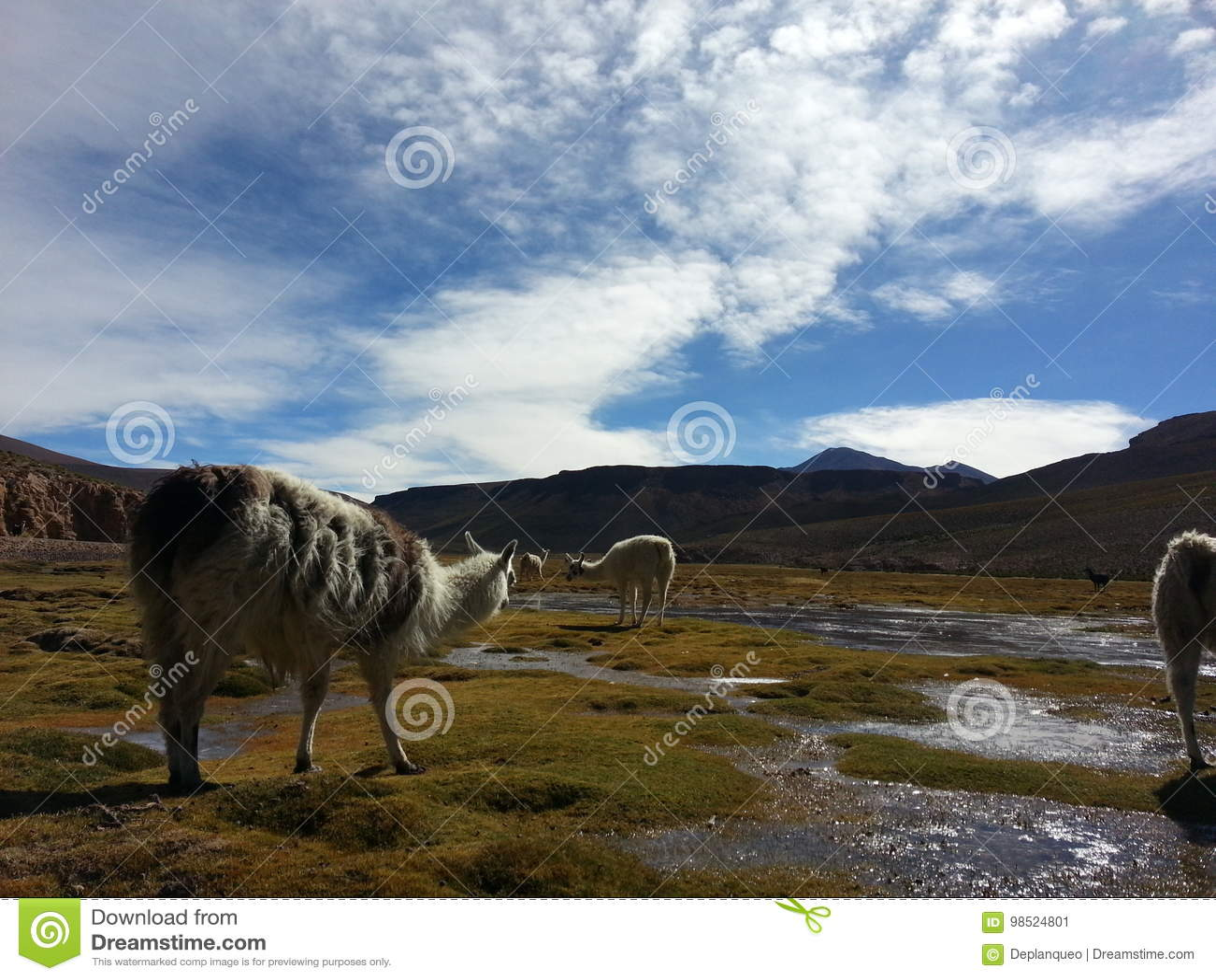 Lama dans le Bolivien Altiplano