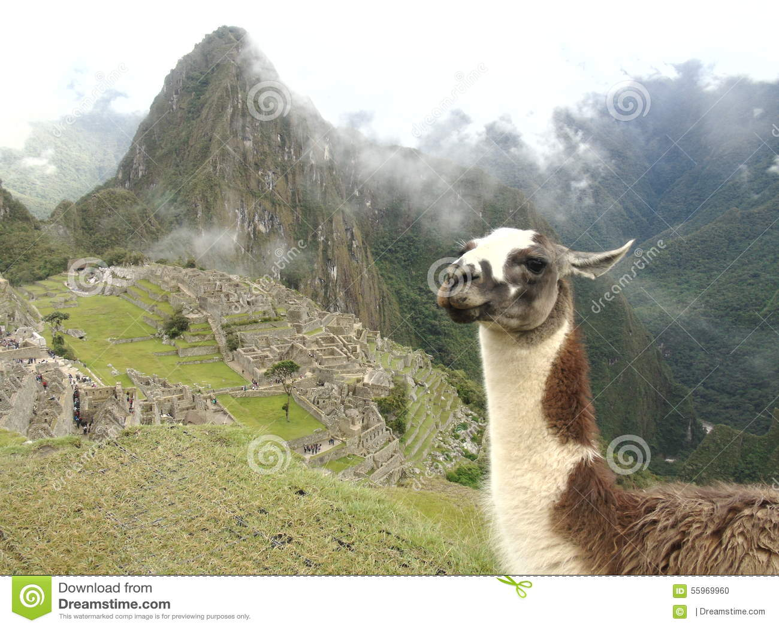 Lama in de berg van Peru