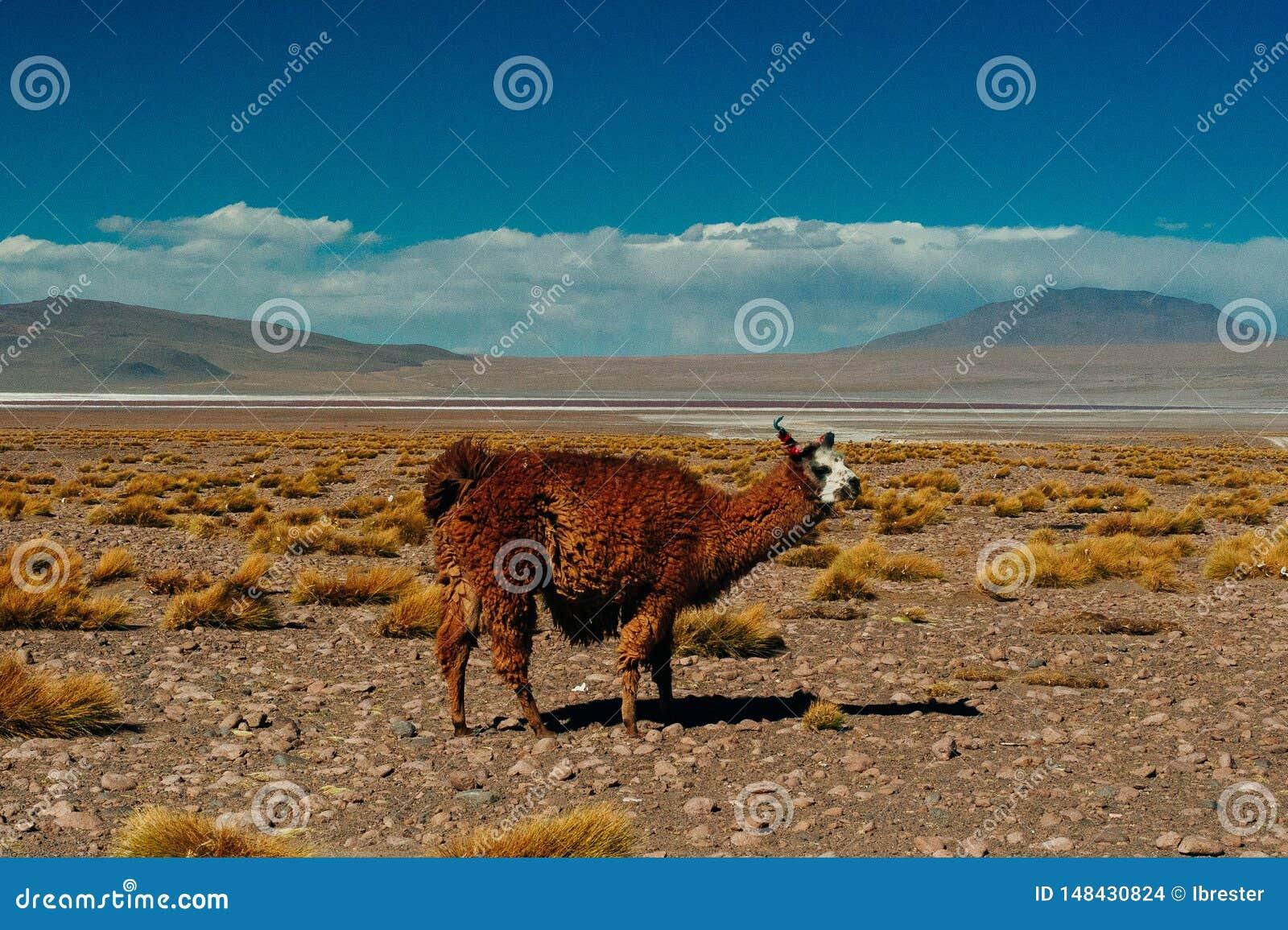 Lama de Brown en la Laguna Colorada, Bolivia