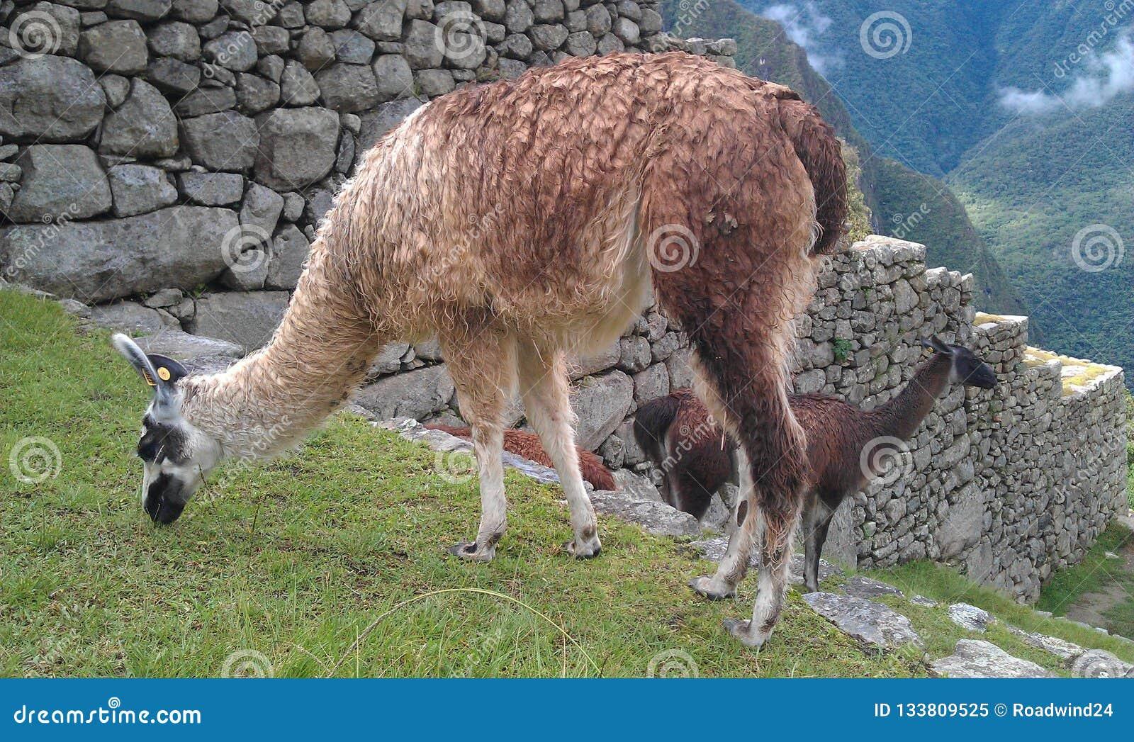 Lama di Machu Picchu