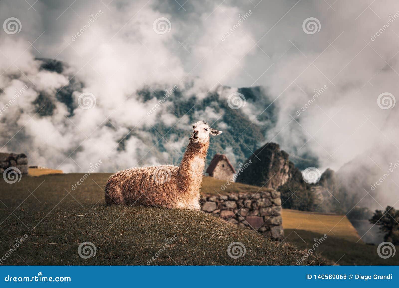 Lama em Machu Picchu Inca Ruins - vale sagrado, Peru