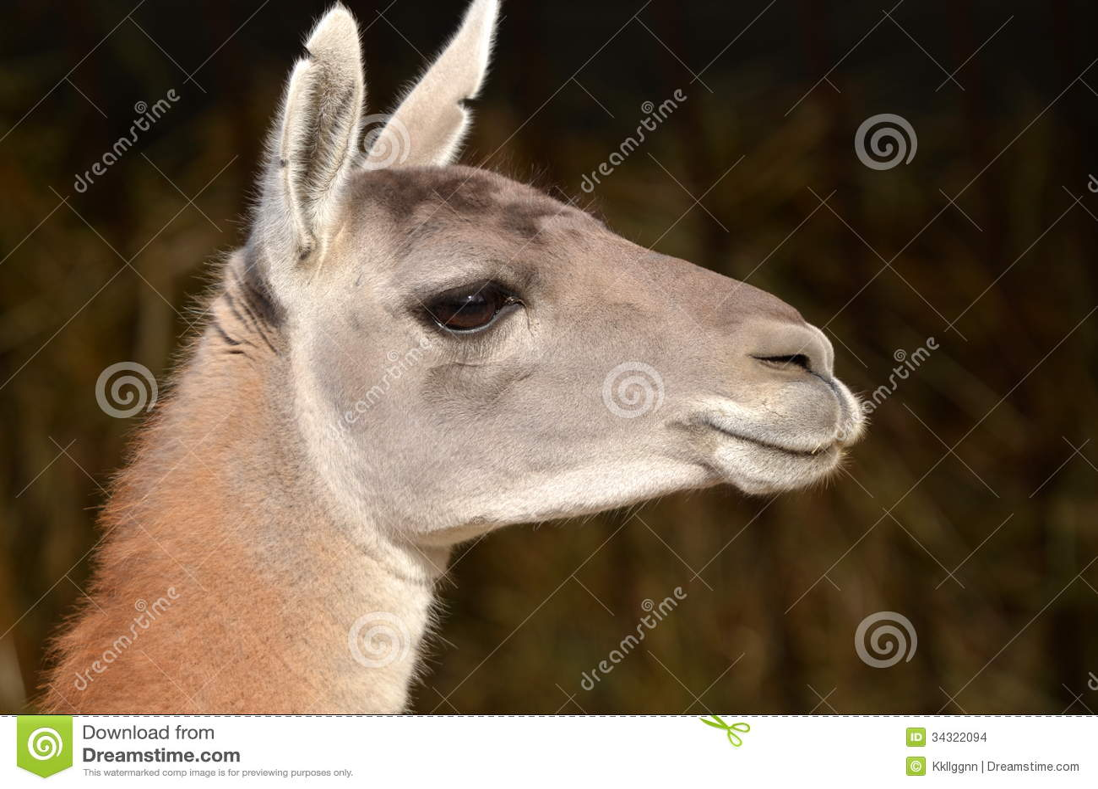 Lama Head Stock Images Image 34322094