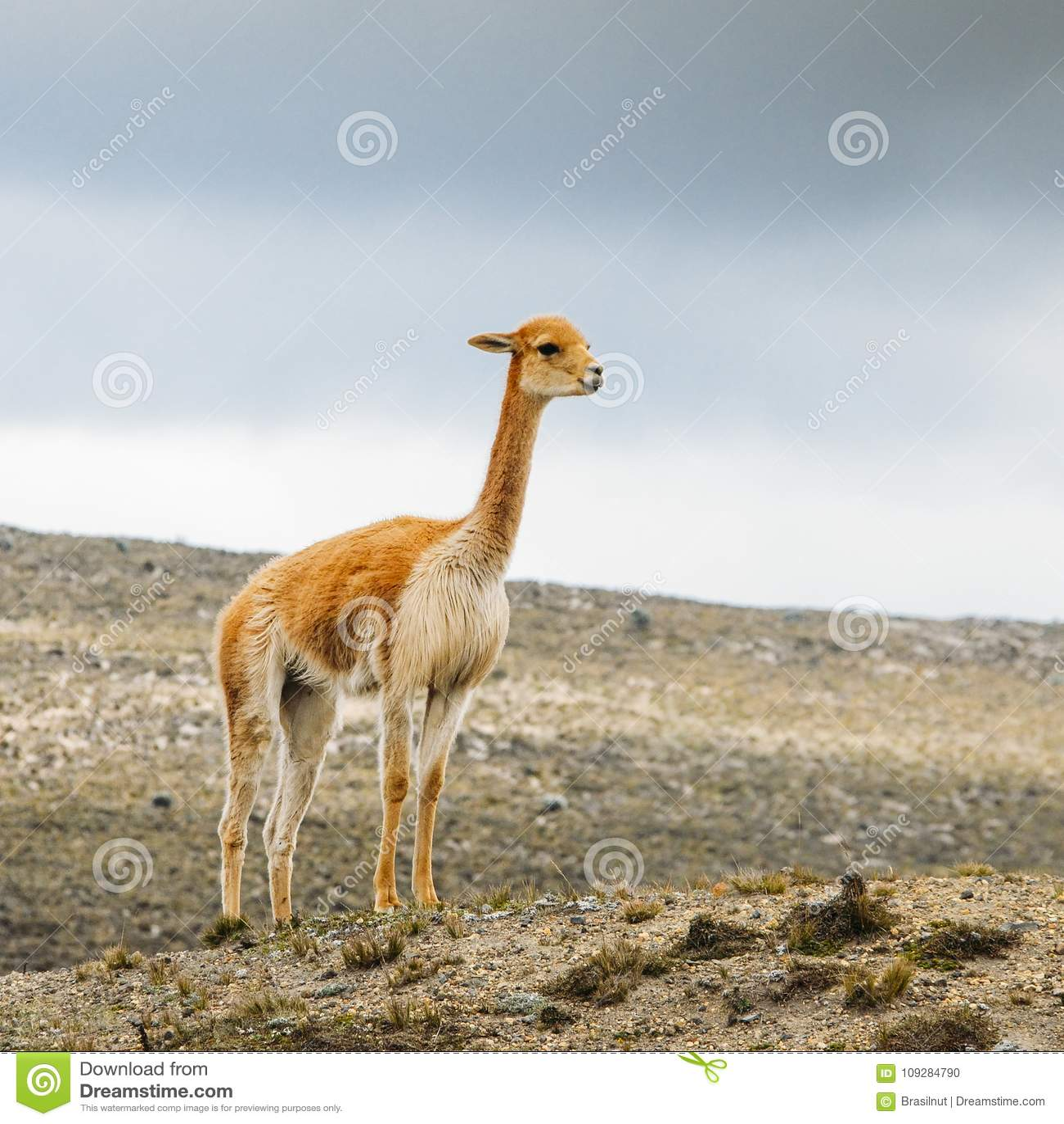 Lama ist ein domestiziertes südamerikanisches camelid, das als Fleisch und Satztier durch Andenkulturen seit dem Vor-kolumbianisc