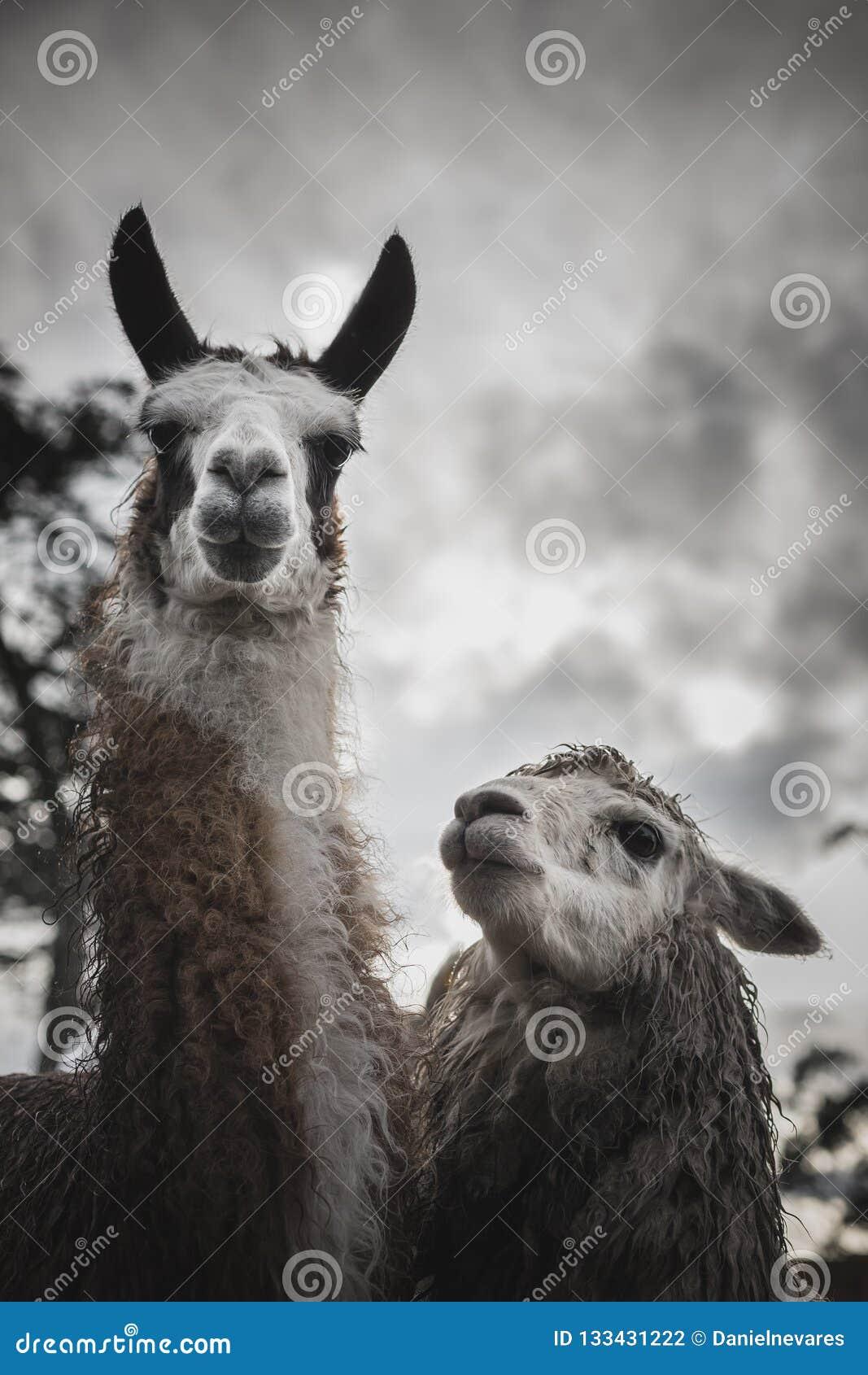 Lama och Alpaca på en lantgård i Anderna