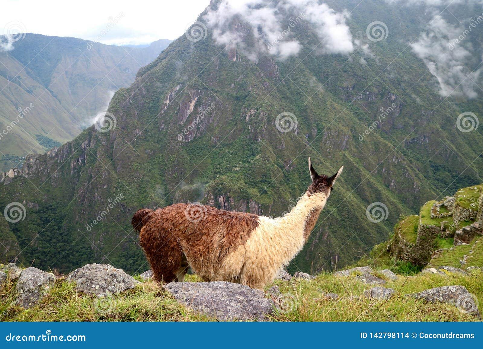Lama patrzeje zadziwia ruiny inka cytadela Mach Picchu, Cusco region, Peru