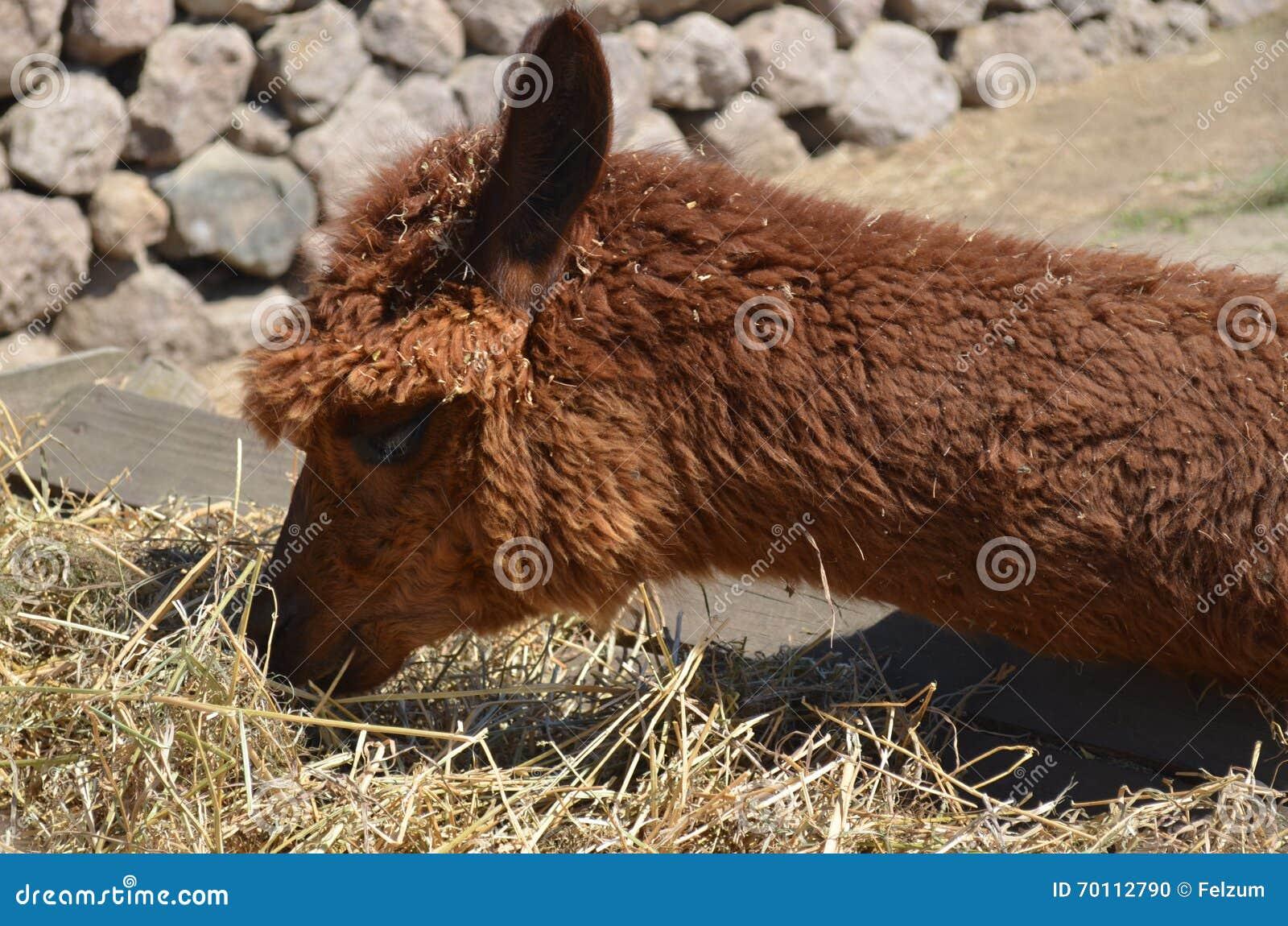 Lama in Peru