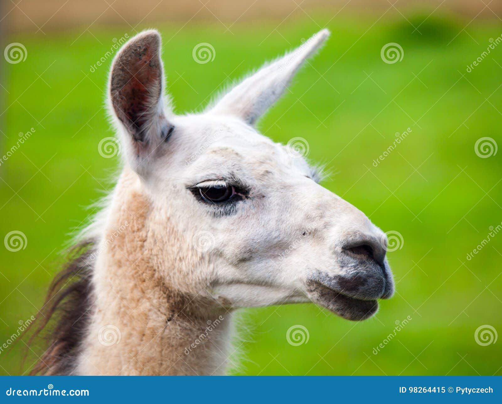 Lama-Porträt Südamerikanisches Säugetier Großaufnahme mit Hintergrund des grünen Grases