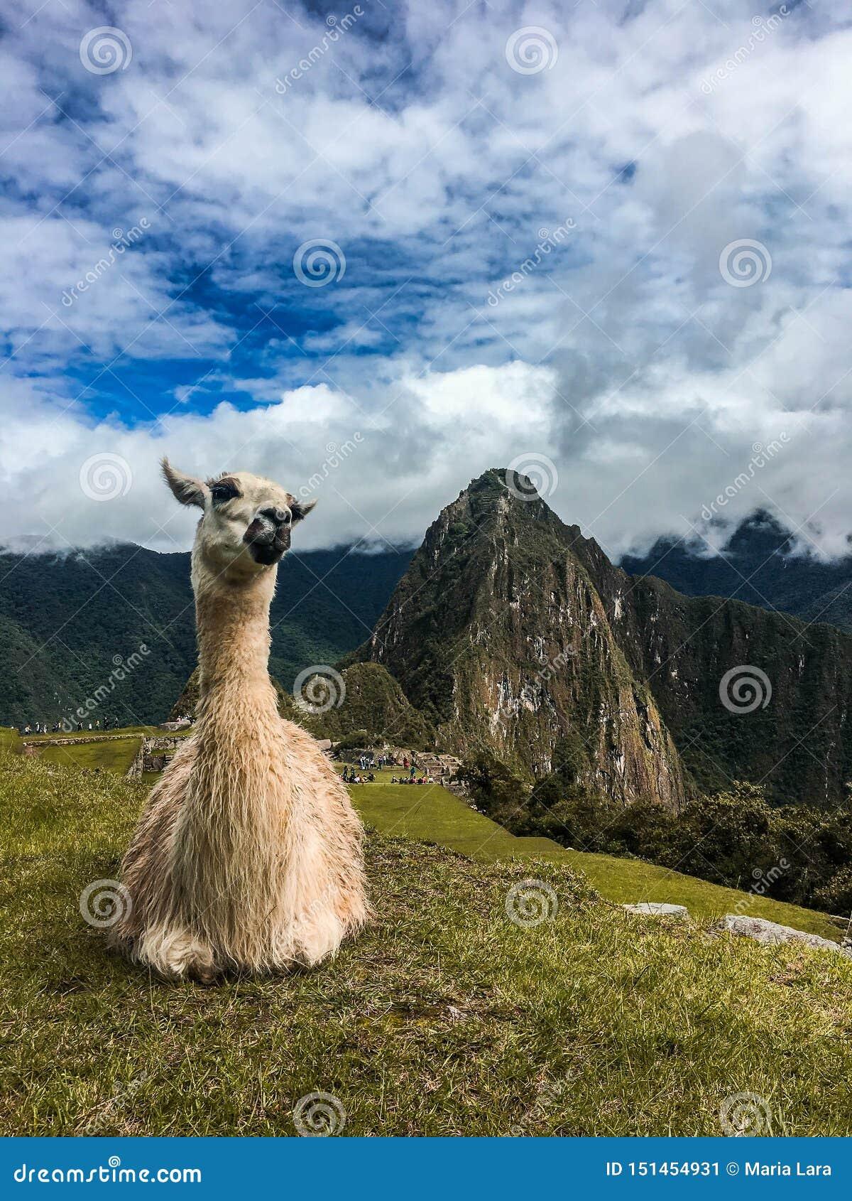 Lama relaksuje przy Mach Picchu