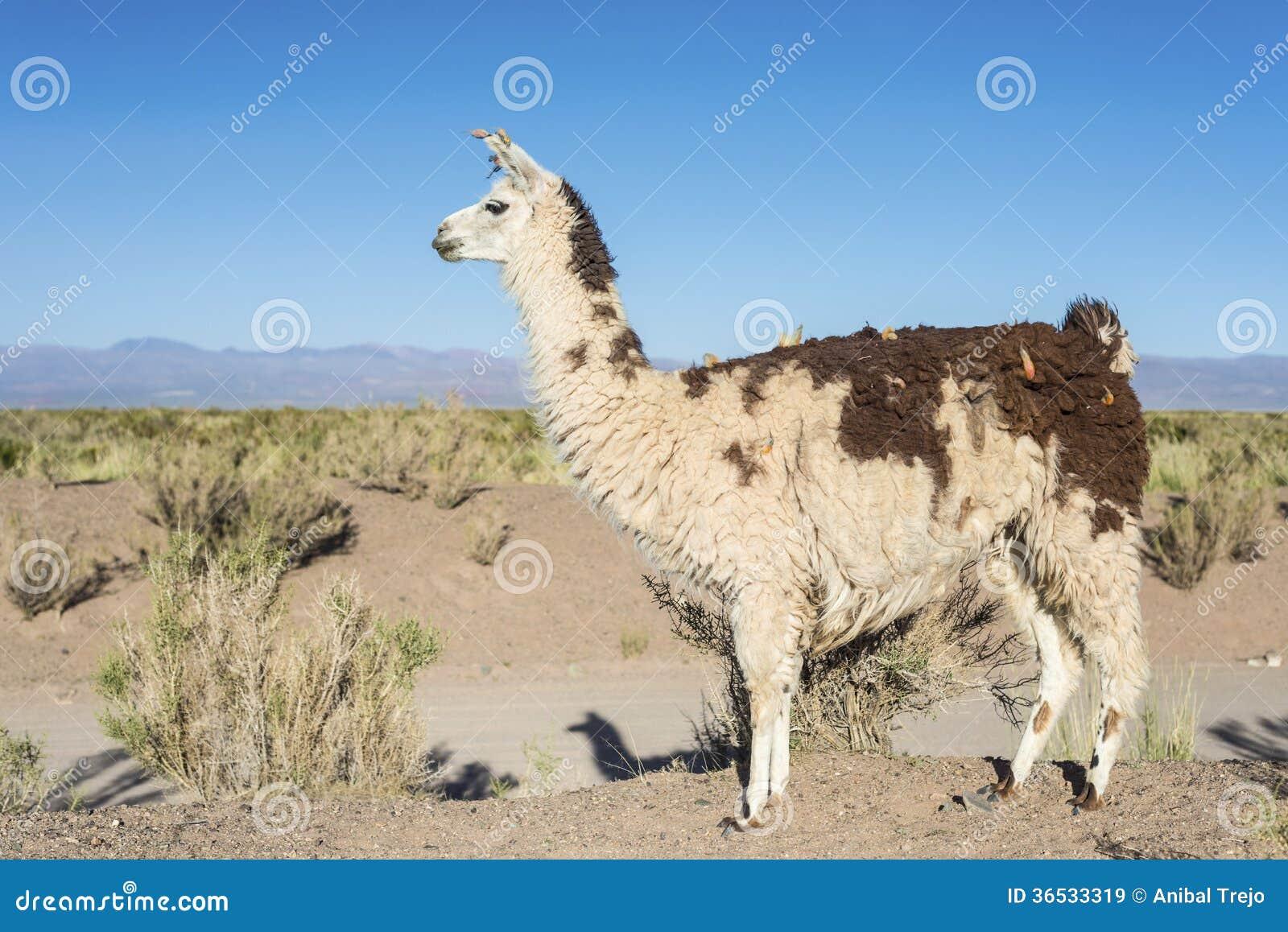 Lama in saline Grandes in Jujuy, Argentina.