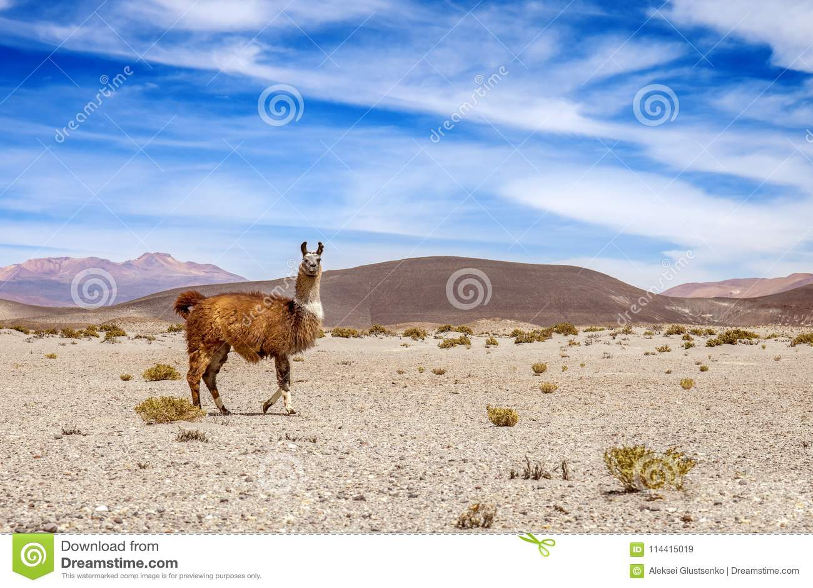 Lama selvagem nas montanhas de Andes Montanha e céu azul no fundo