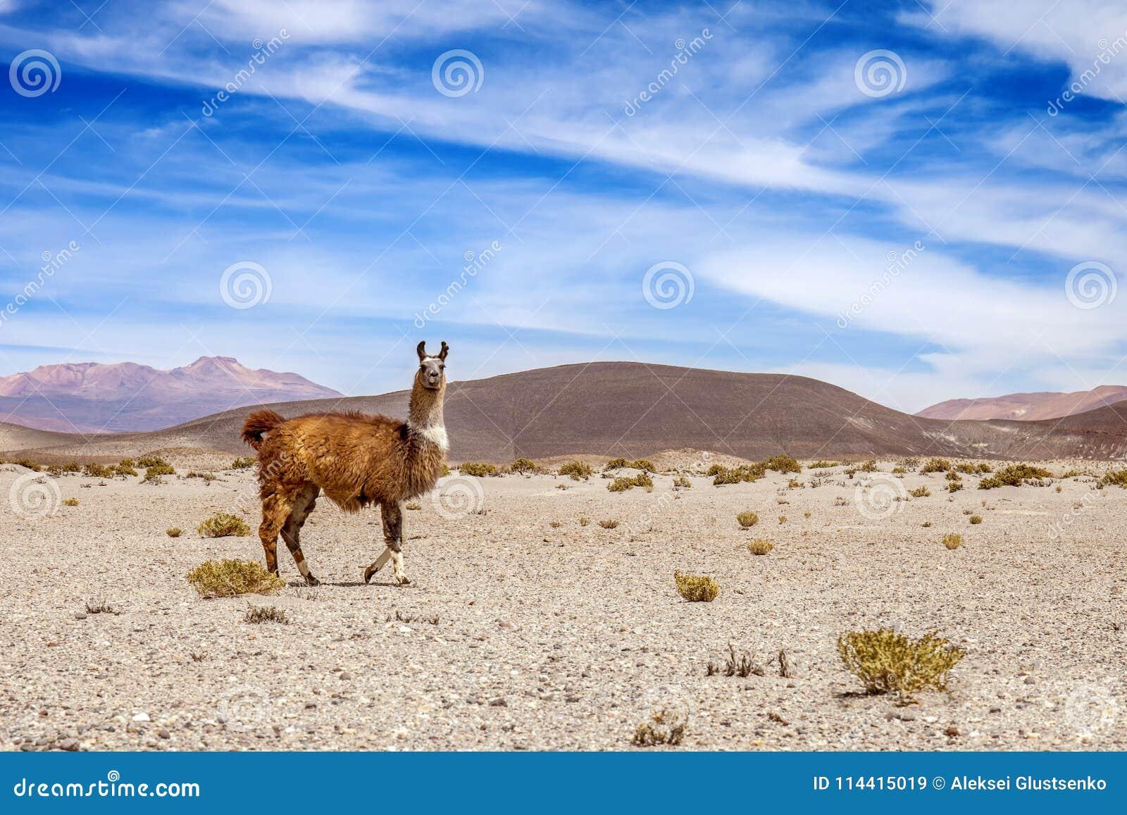 Lama selvaggia sulle montagne delle Ande Montagna e cielo blu nei precedenti