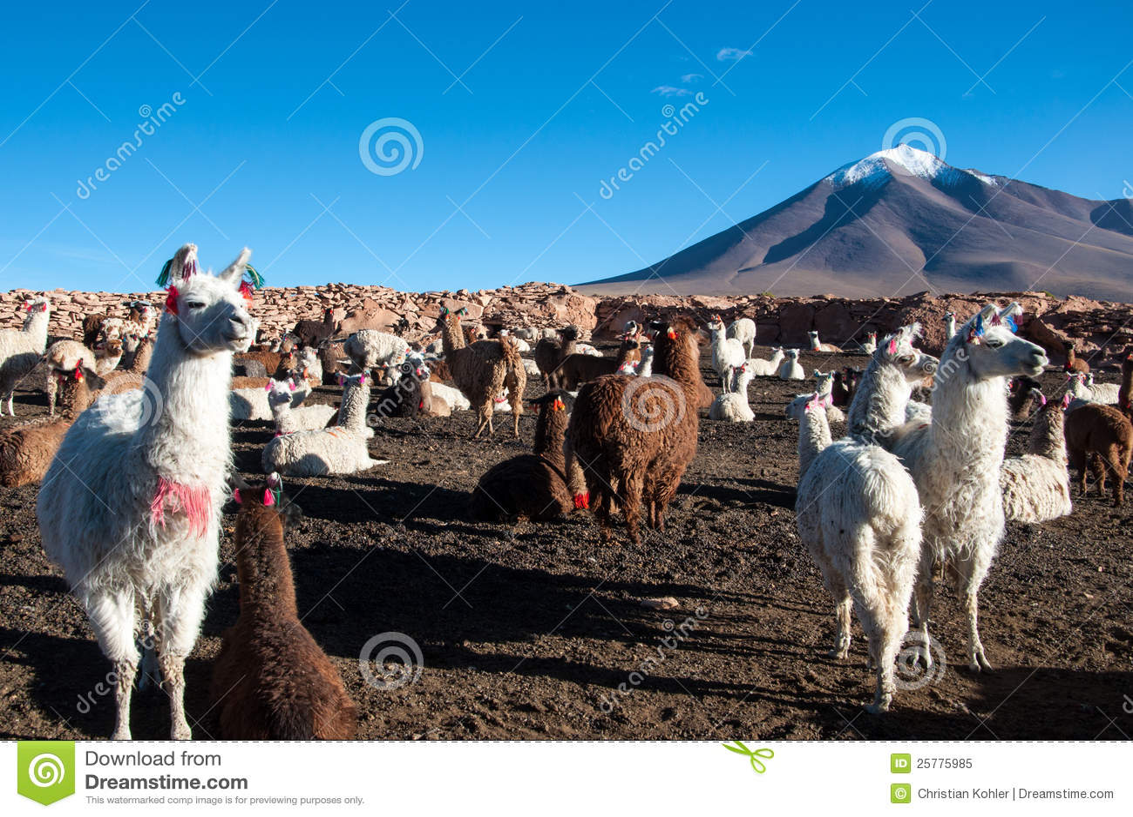 Lama w Boliwia