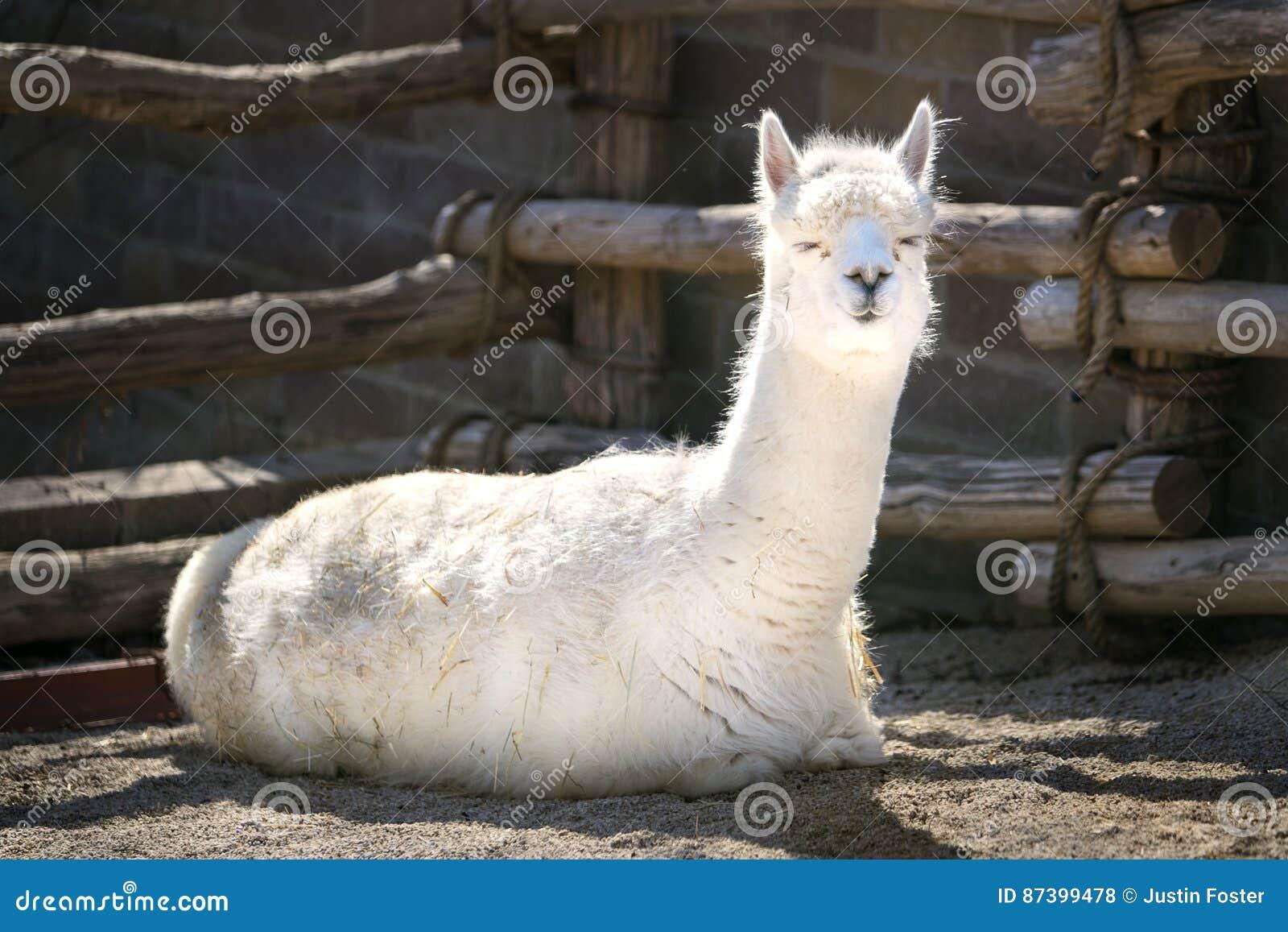 Lama w słońcu Sunbathing - słoneczny dzień -