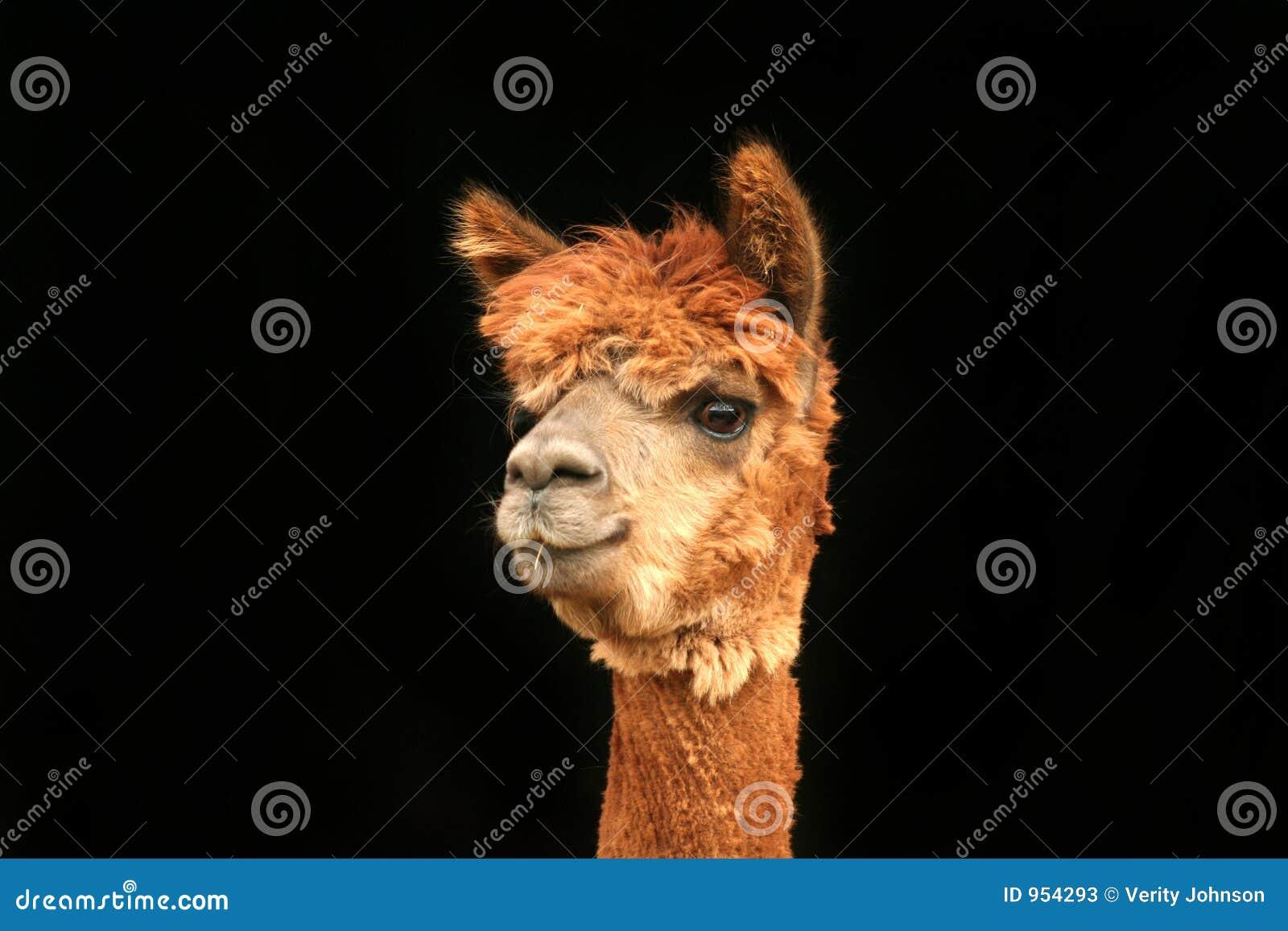 Lama wyglądać