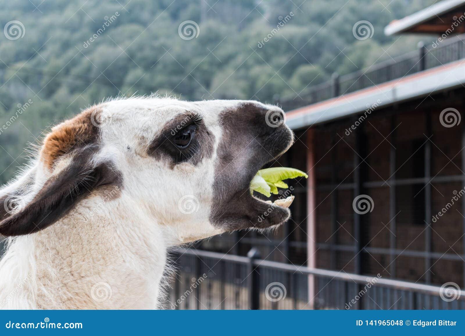 Lamadier terwijl het eten van voedsel