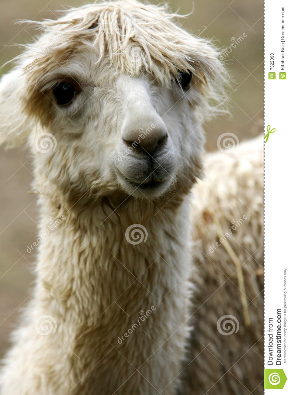 Lamas Stock Photo - Image: 7322390