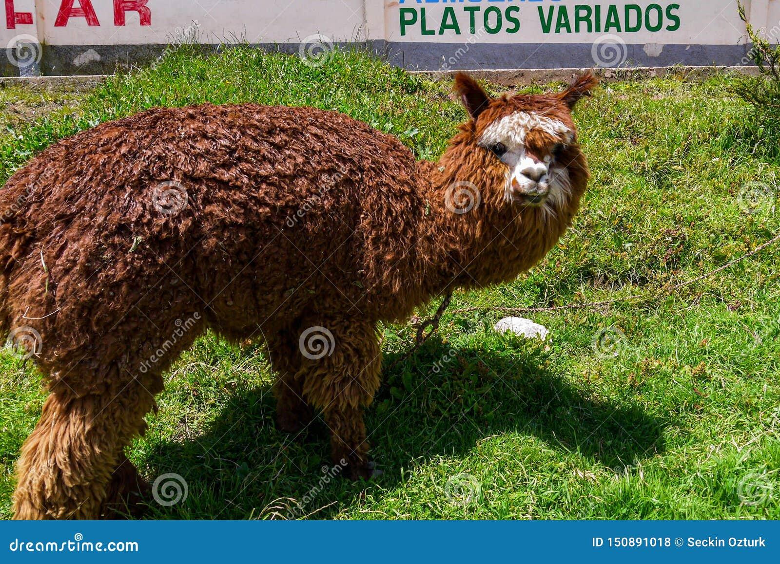 Lamas en Salar de Uyuni en Bolivie