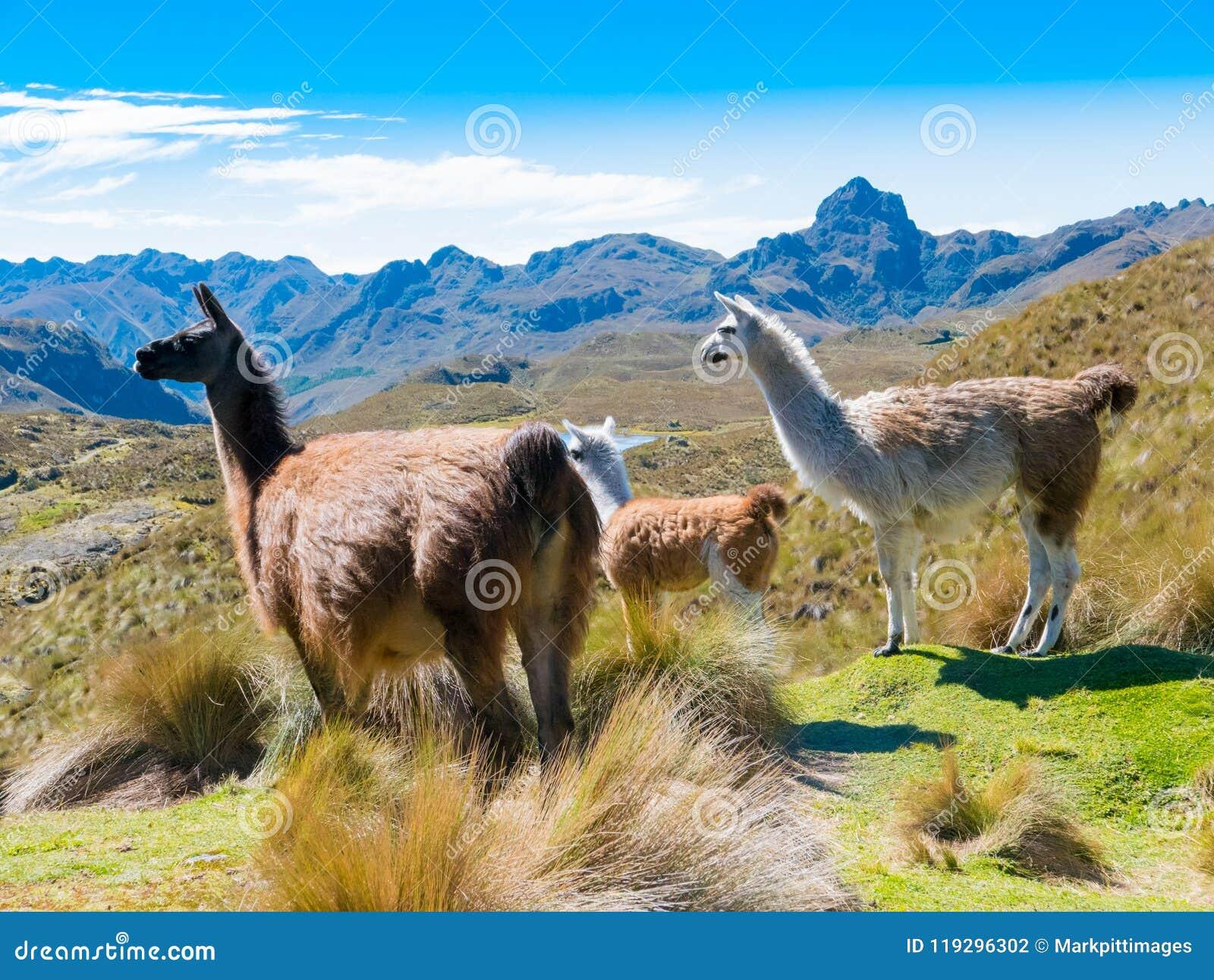 Lamas no parque Cuenca de Cajas